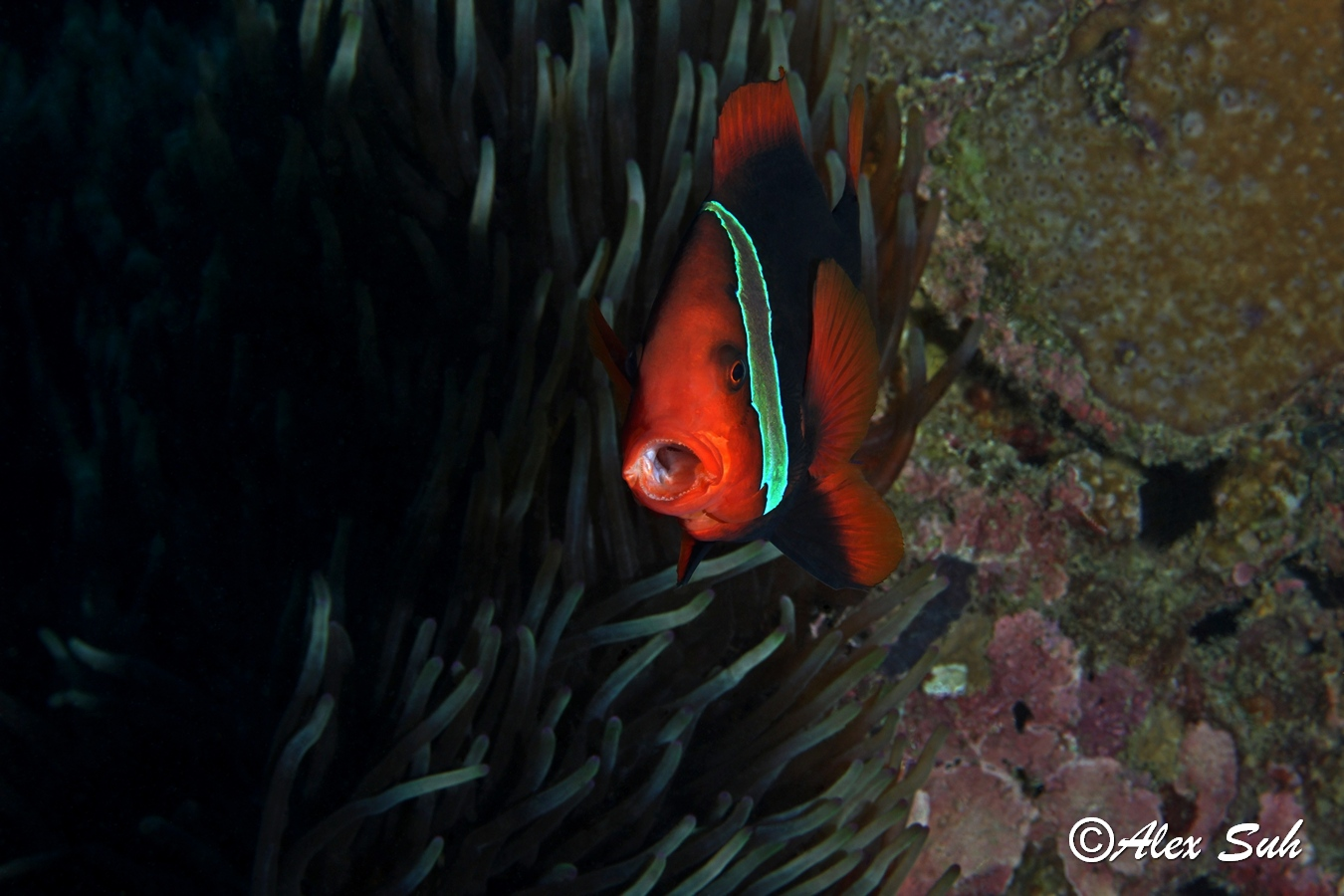 Tomato Clown Fish Yawning