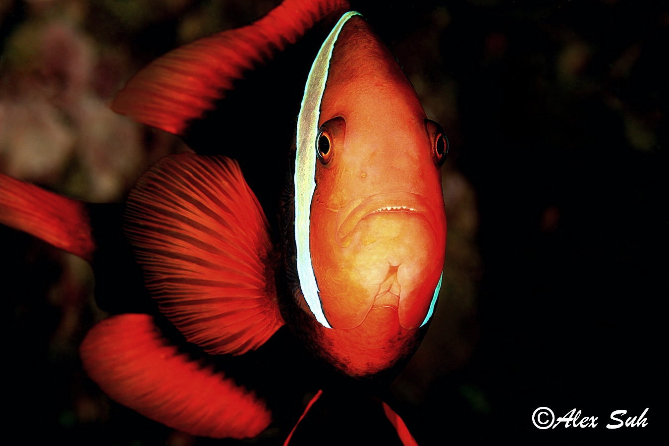 Tomato Clown Fish Upclose