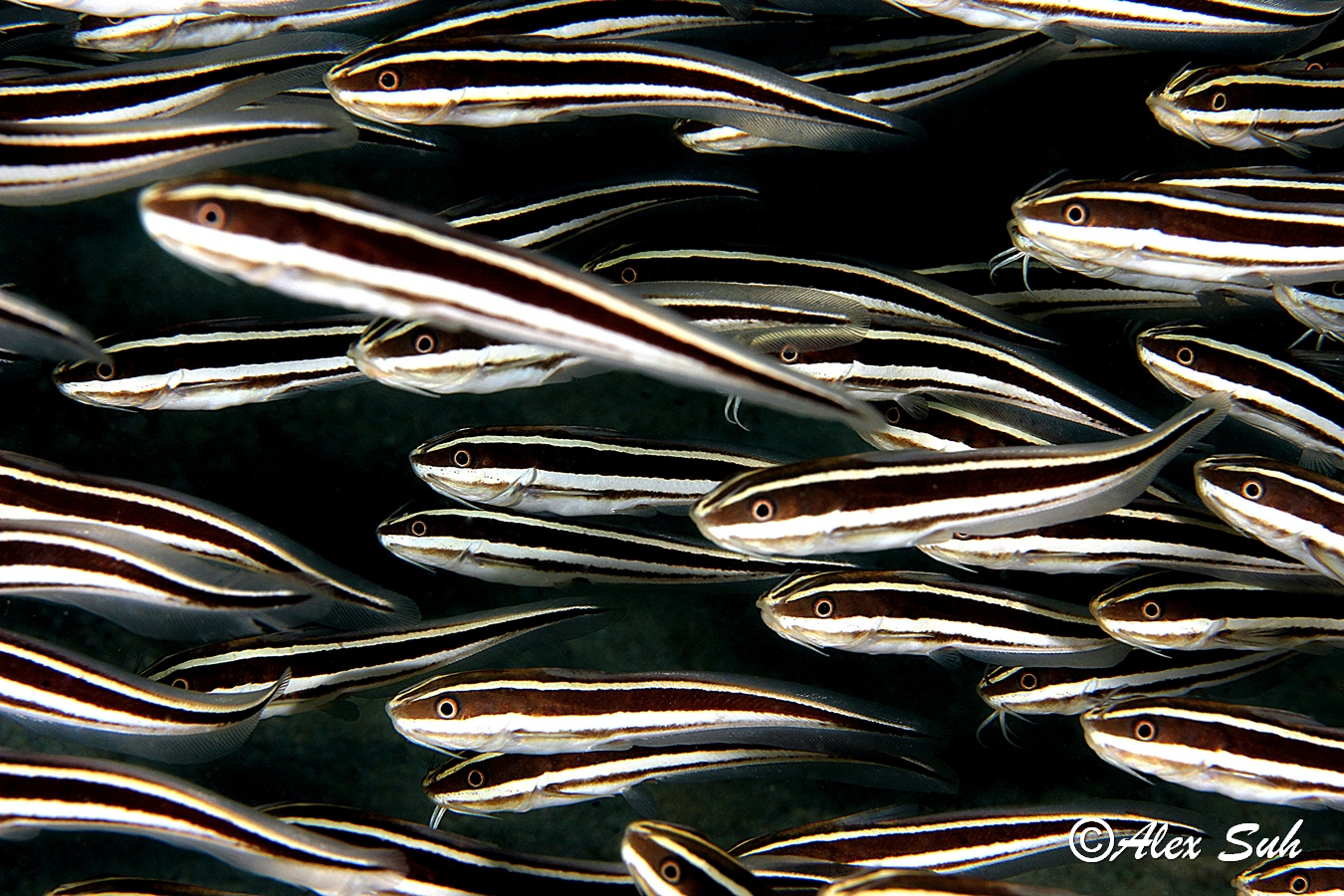 School of Stripped Catfish (Plotosus lineatus)