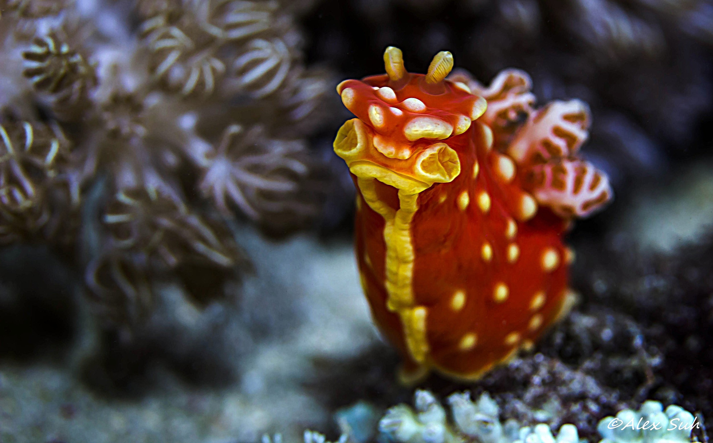 Strawberry Nudibranch (Gymnodoris aurita)