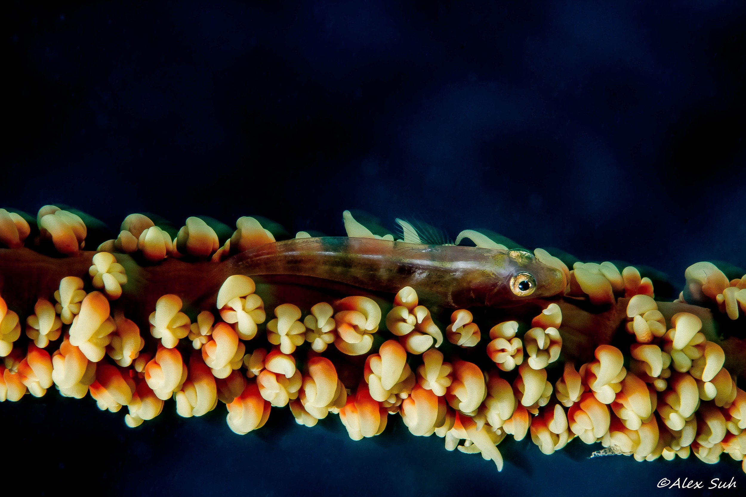 Whip coral goby (Bryaninops yongei)
