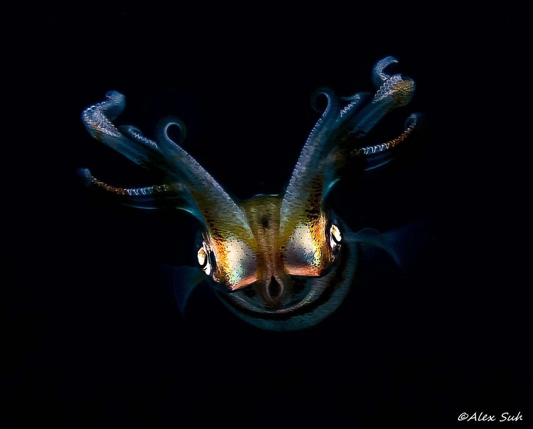 Squid (Loligo opalescens)