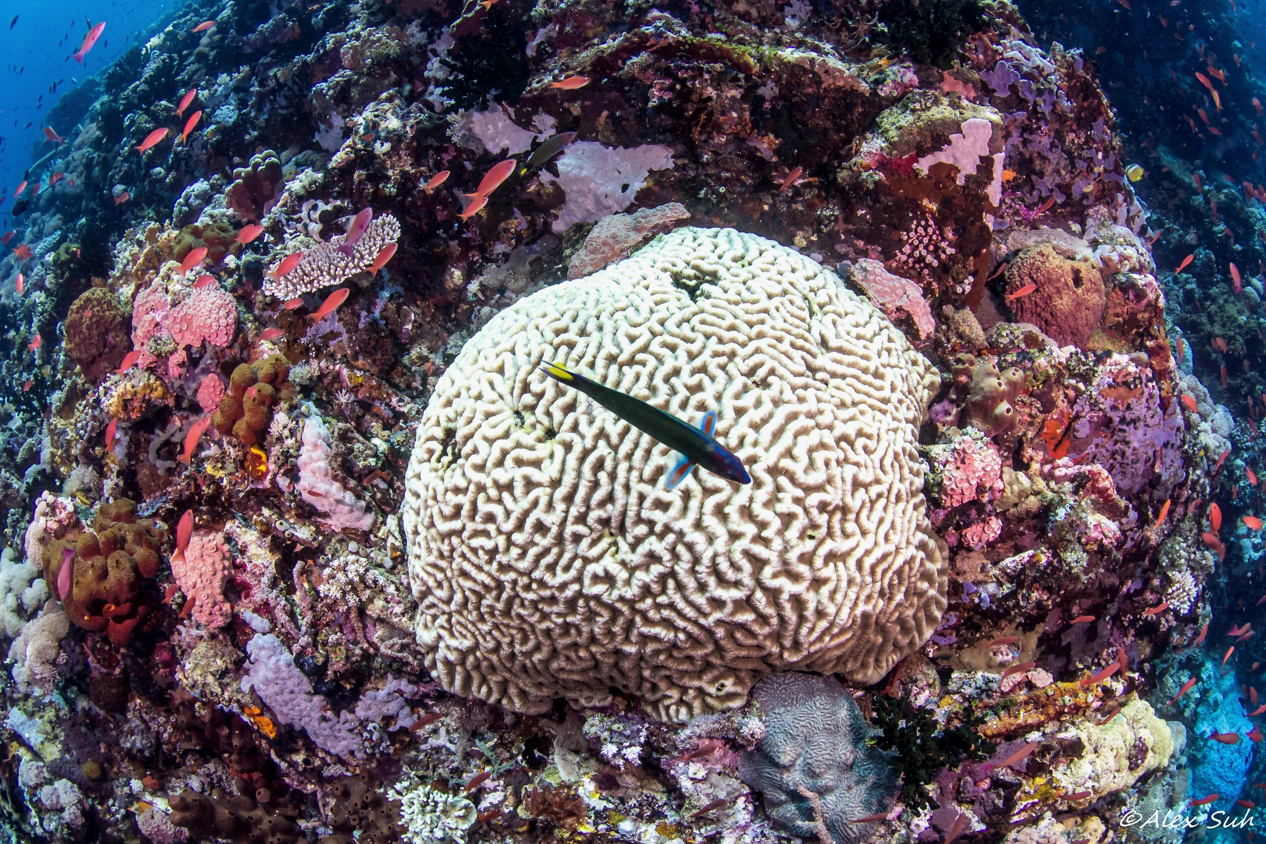 Brain Coral with Wrasse