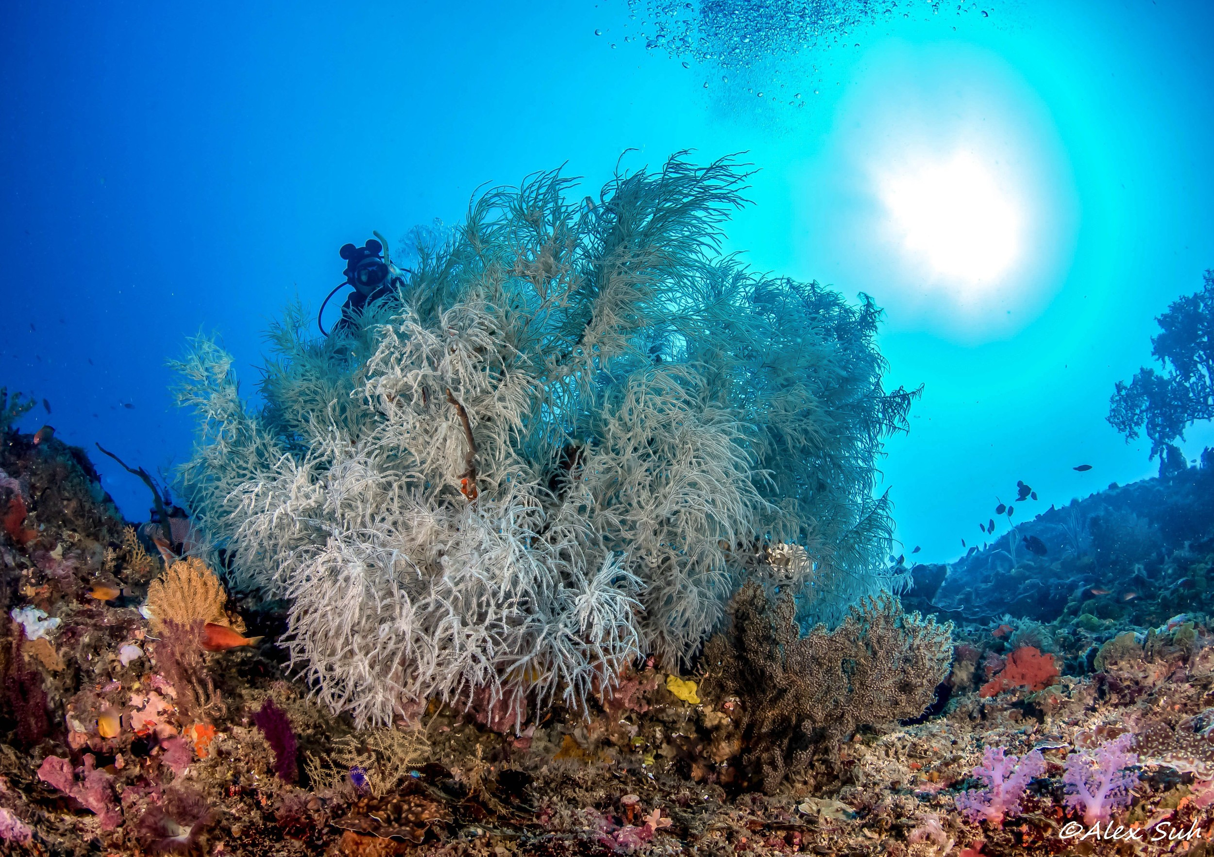 Black Coral Beauty