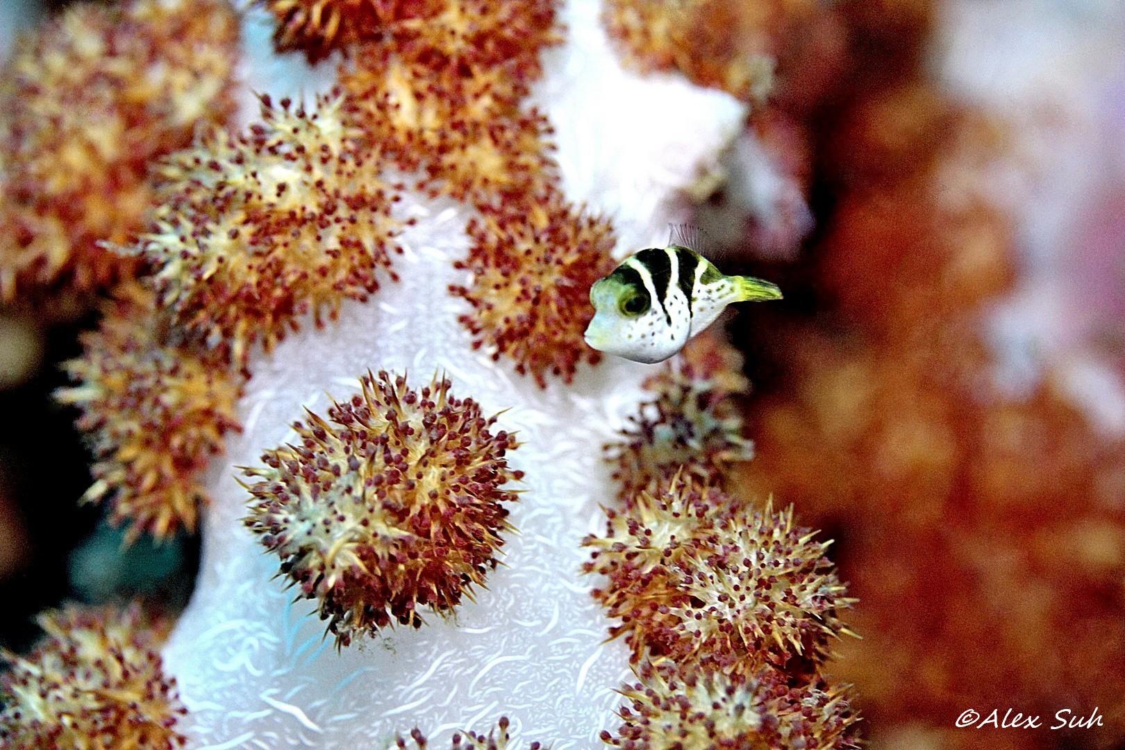 Small Puffer Fish