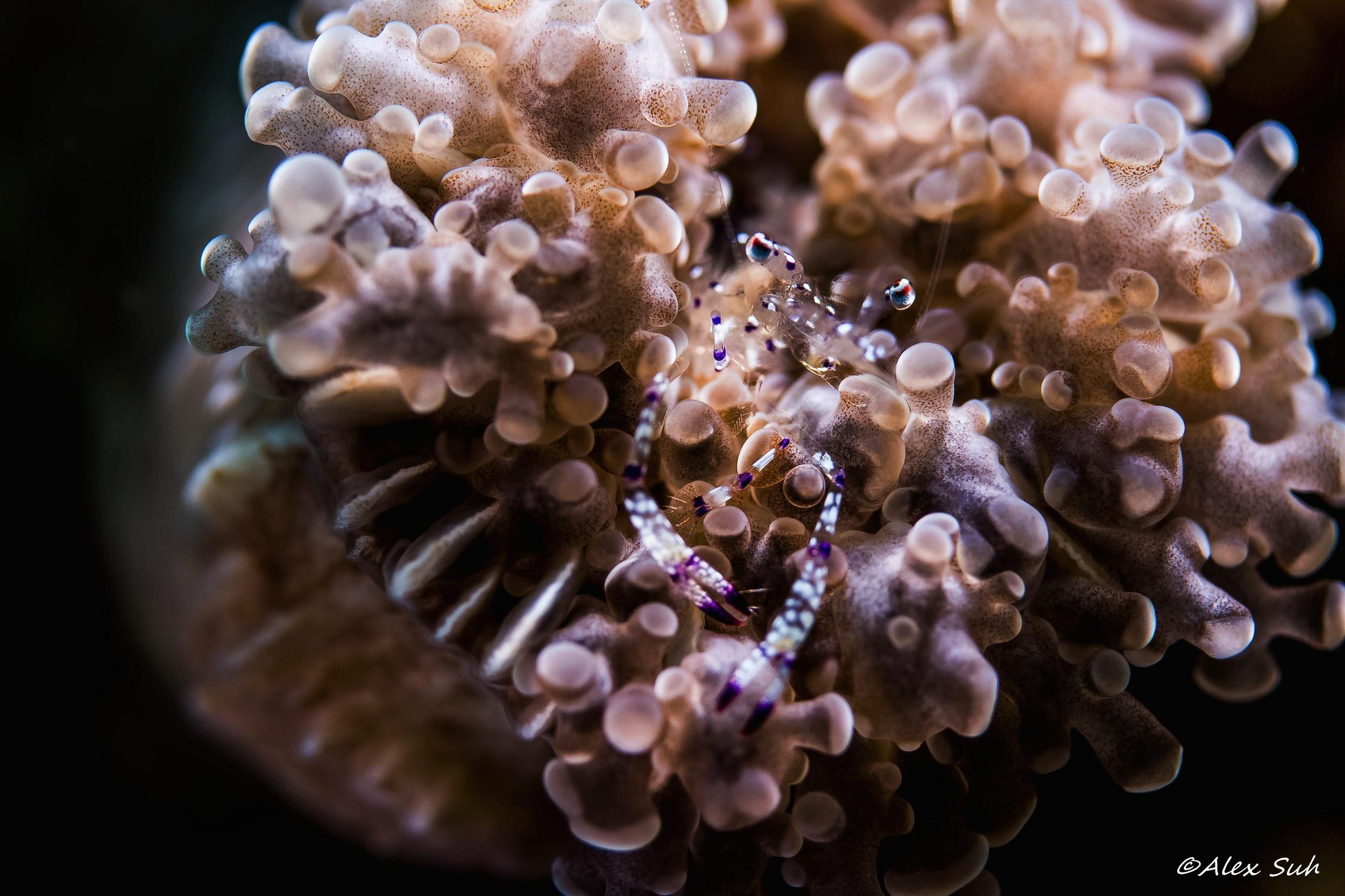 Graceful Anemone Shrimp (Ancylomenes venustus)
