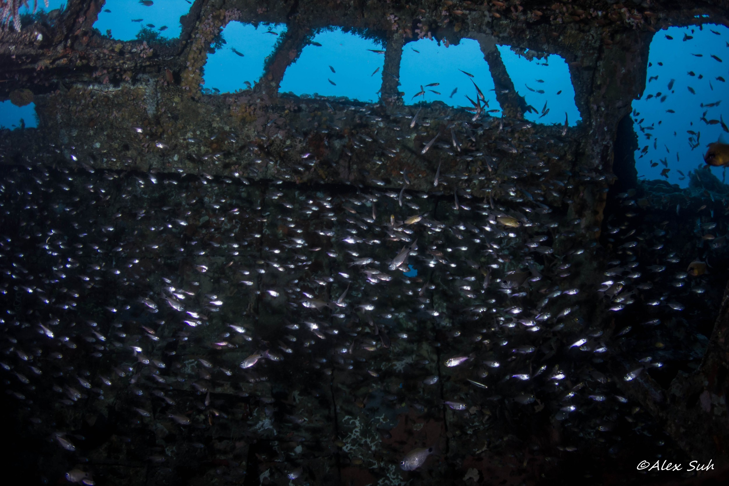 Silver Fish within a Wreck