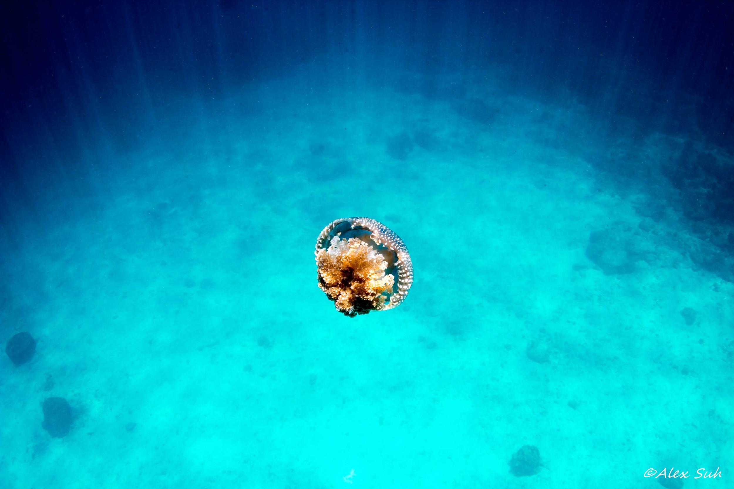 Jelly Fish in Sunray