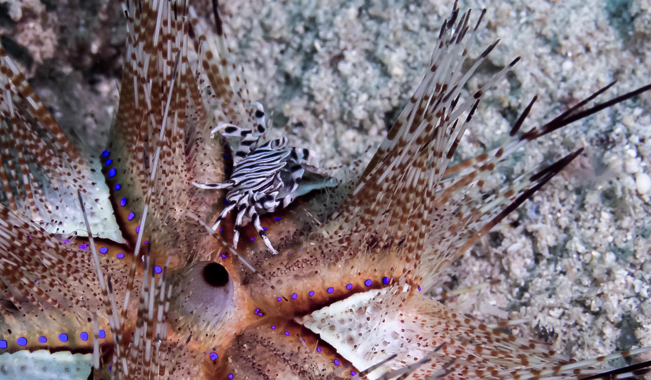 Zebra Urchin Crab (Zebrida adamsu)