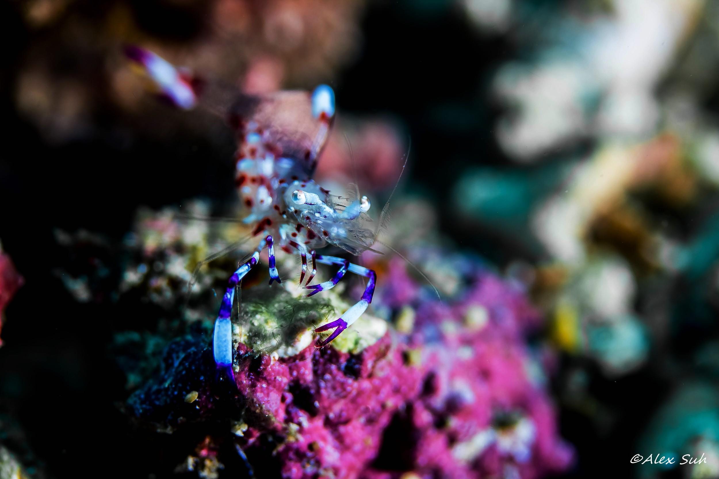 Holthuis Anemone Shrimp (Ancylomenes holthuisi)
