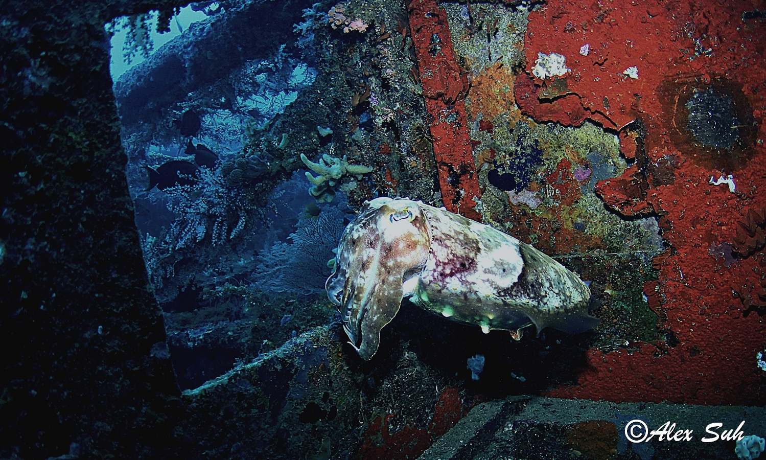 Giant Broadclub Cuttlefish (Sepioa Latimanus)