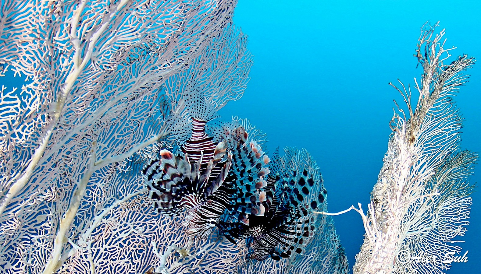 Giant Sea Fan with 2 Large Lion Fish