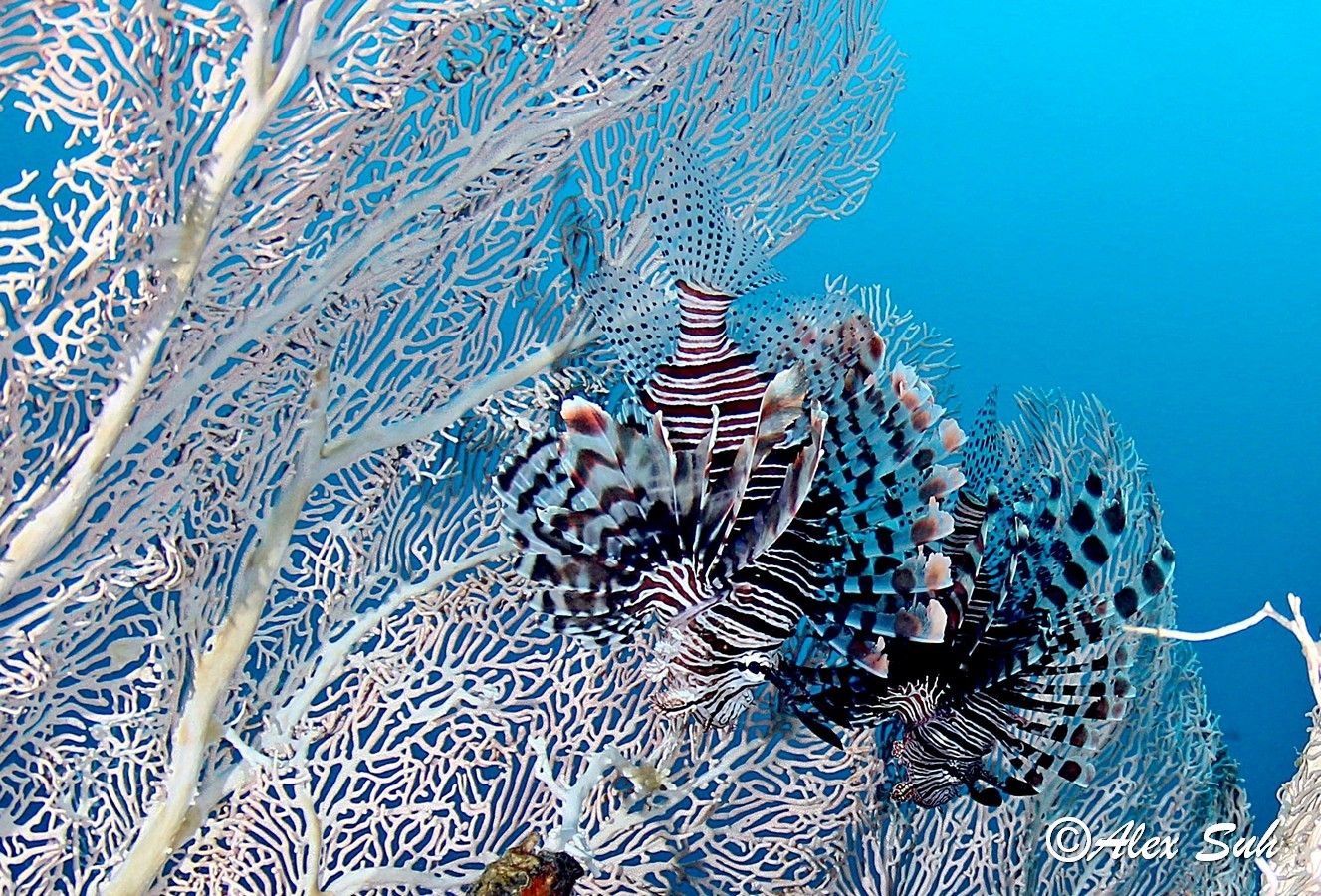 Pair of Lion Fish