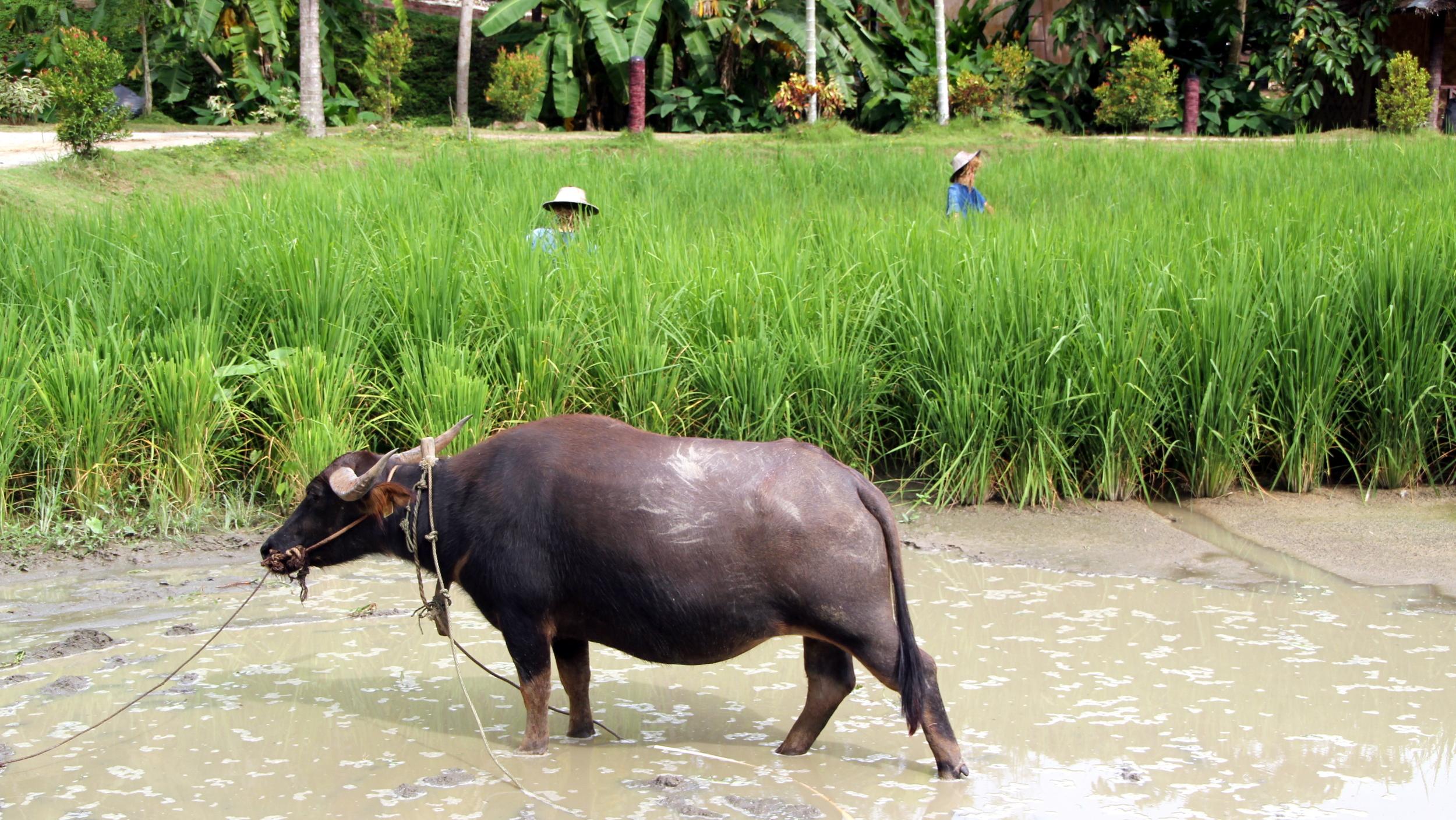 Water Buffalo in Paddy Field