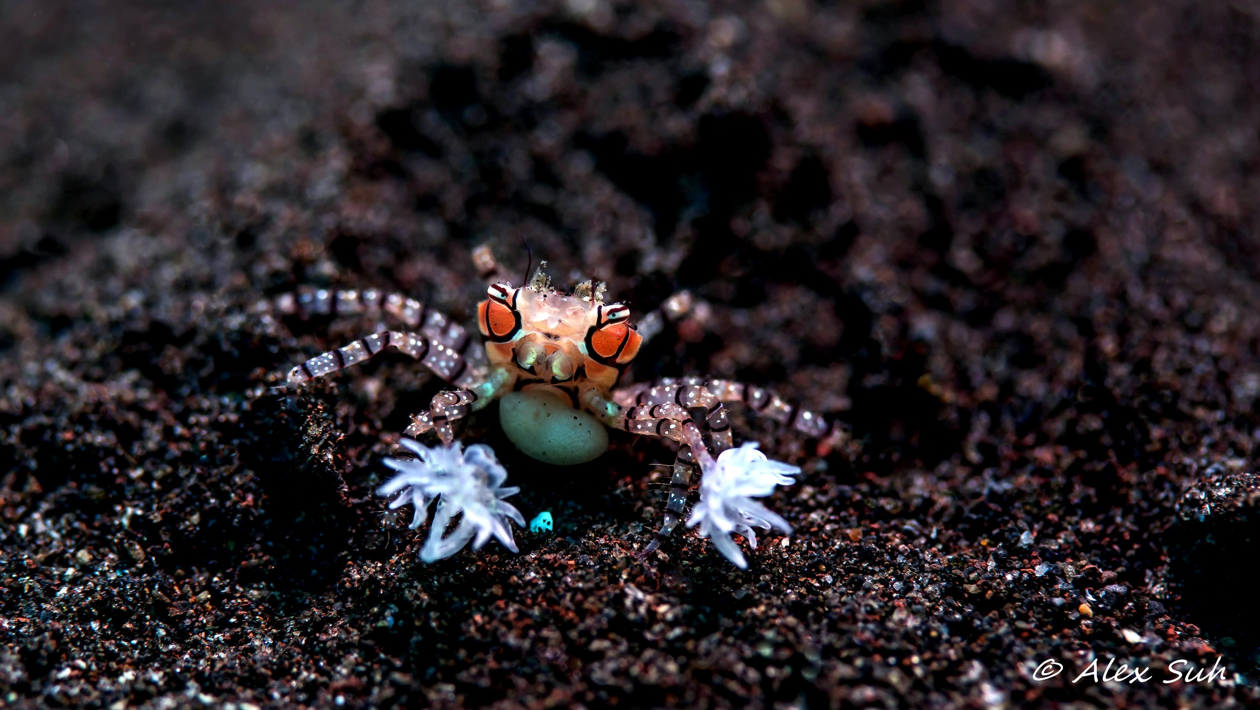 Pregnant Mosaic Boxer Crab (Lybia tesselata)
