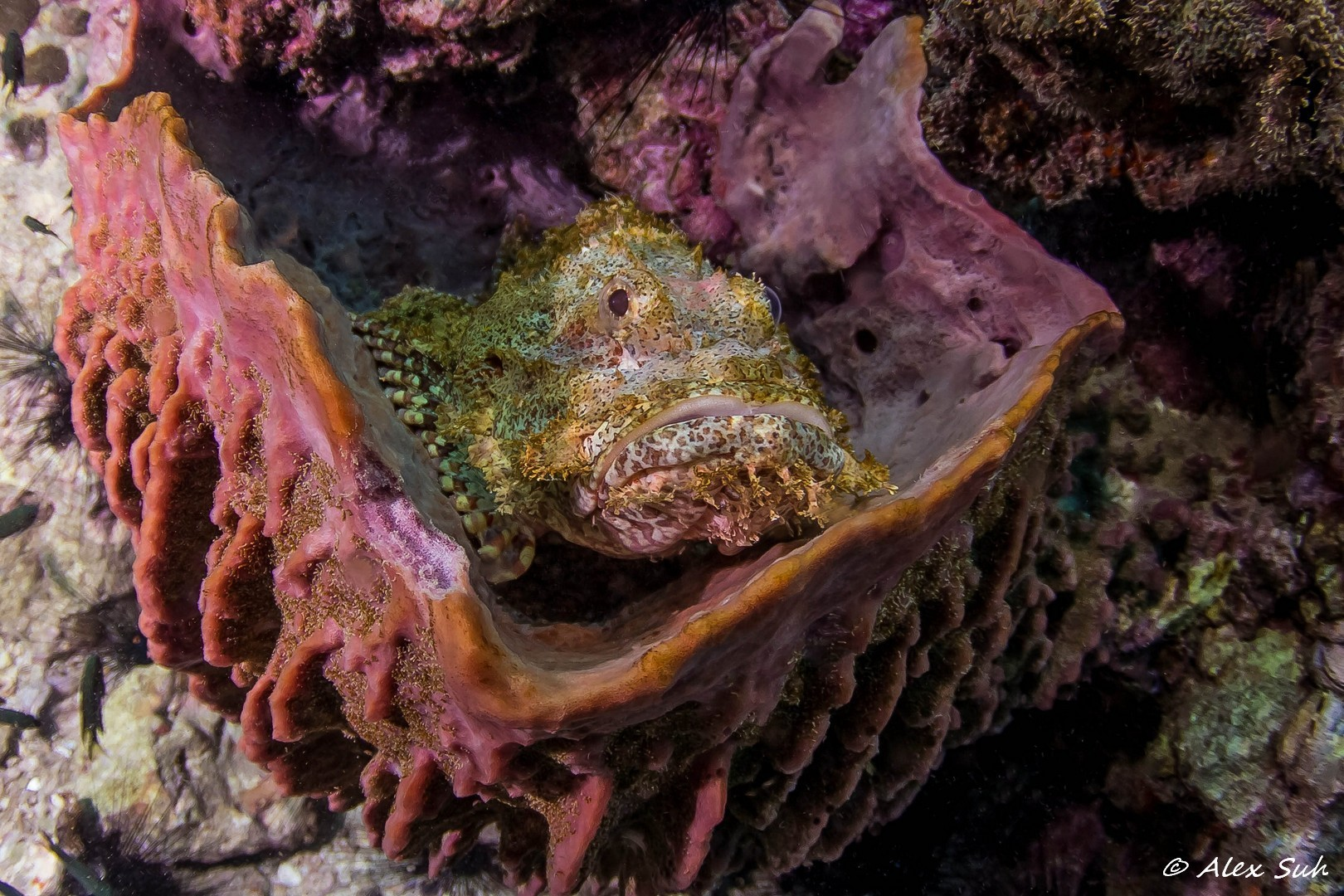 Giant Sculpin Fish