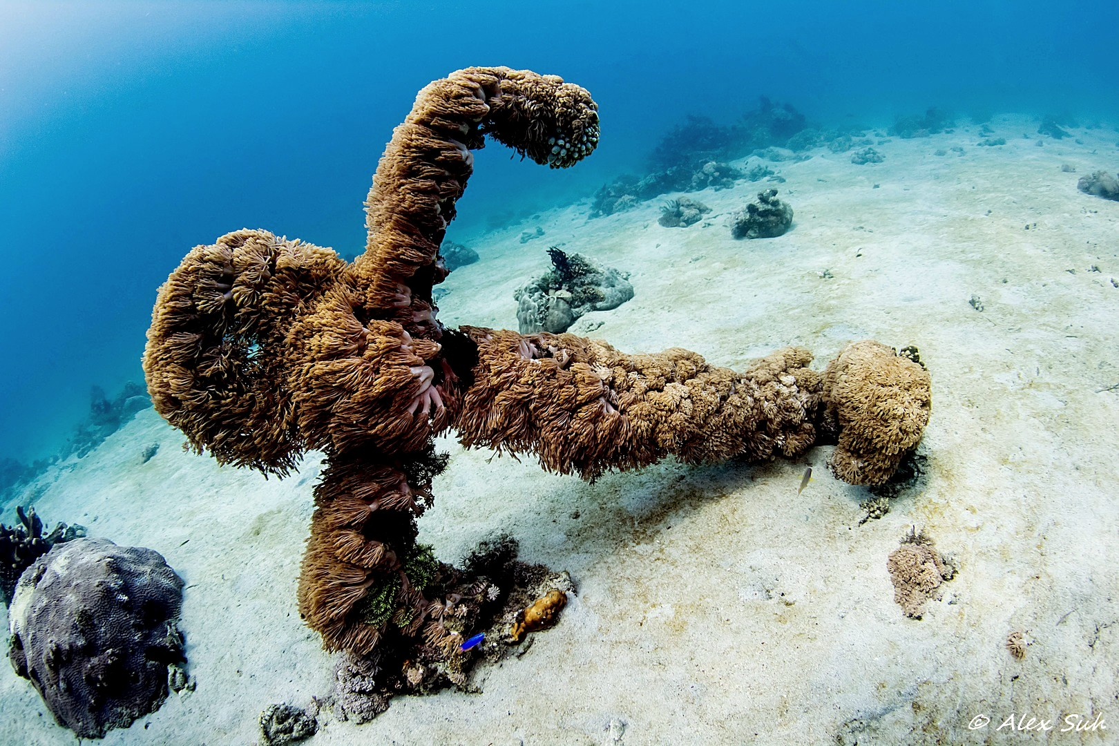 Soft Coral Covered Anchor