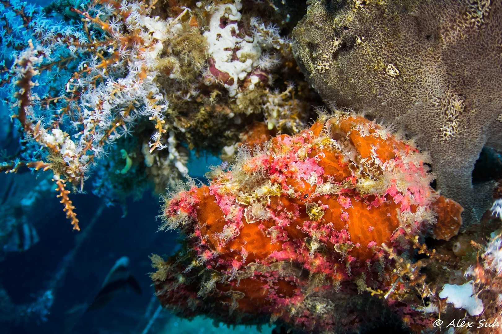 Giant Red Frogfish and Green Frogfish
