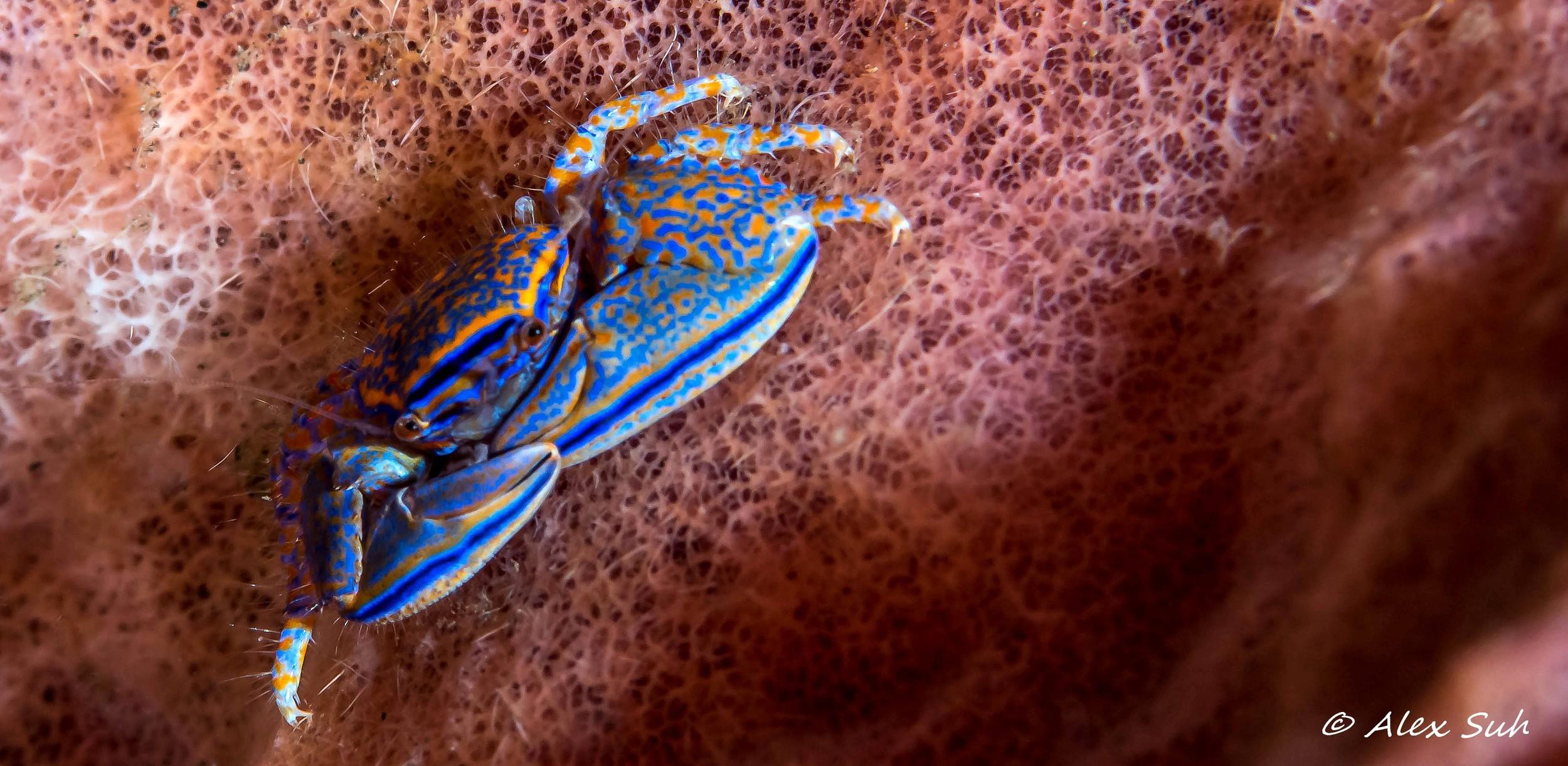 Blue Porcelin Crab.jpg