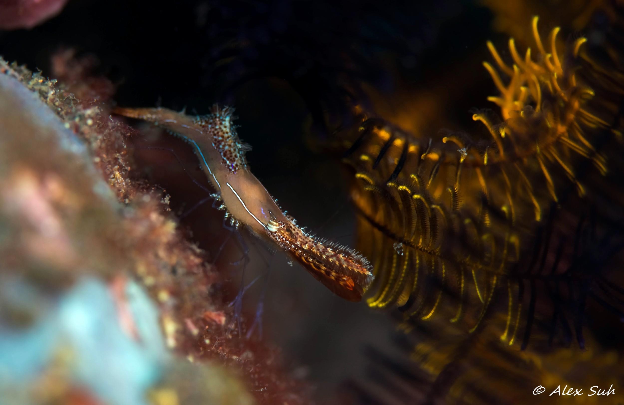 Long Nose Rock Shrimp (Leander plumosus)