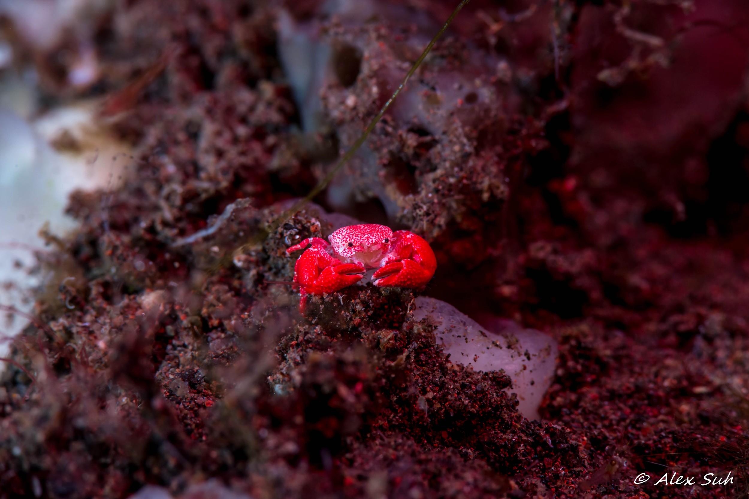 Micro Macro Red Crab