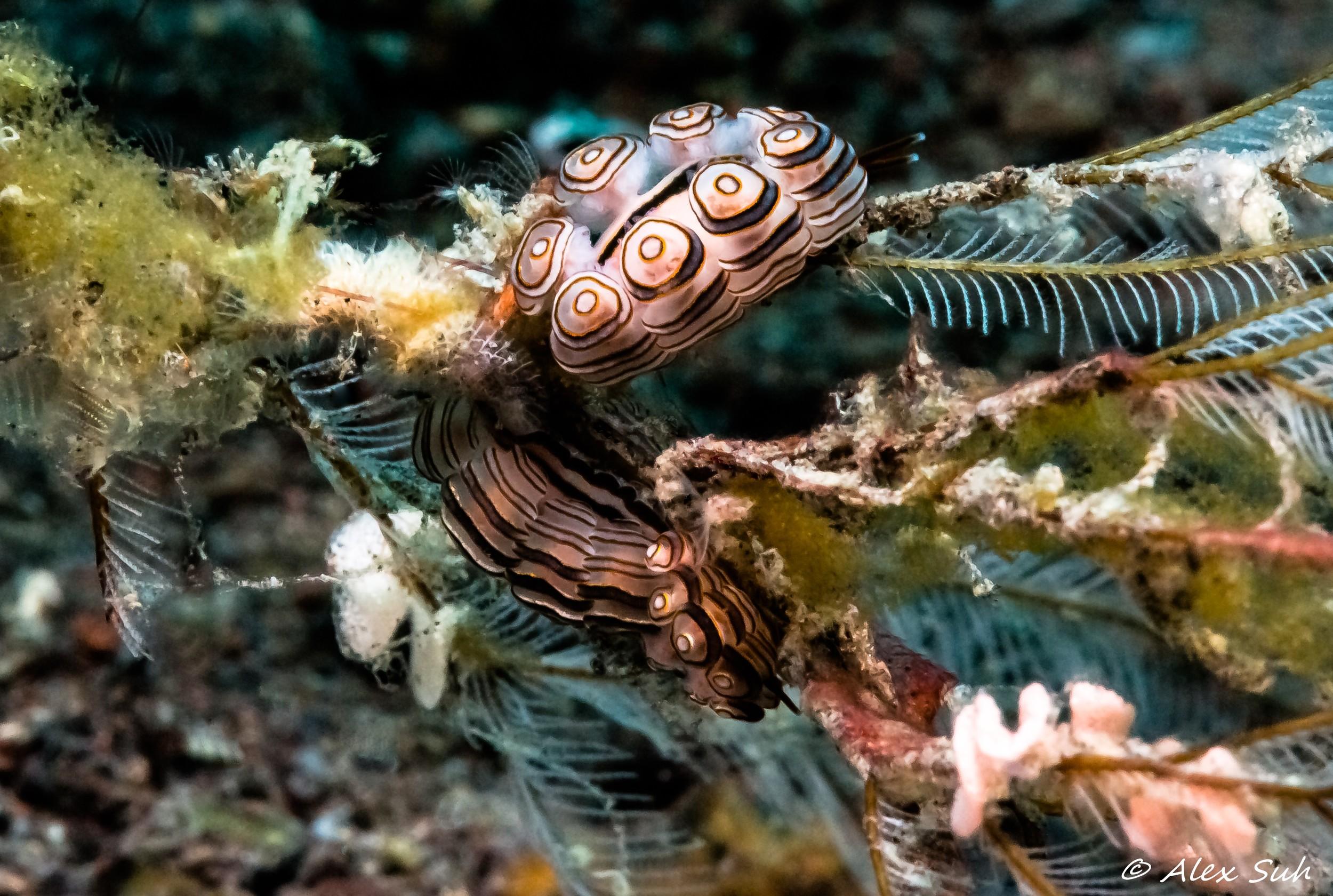 Donut Nudibranch Laying Eggs (Dendronotid Nudibranchs-Dotidae)