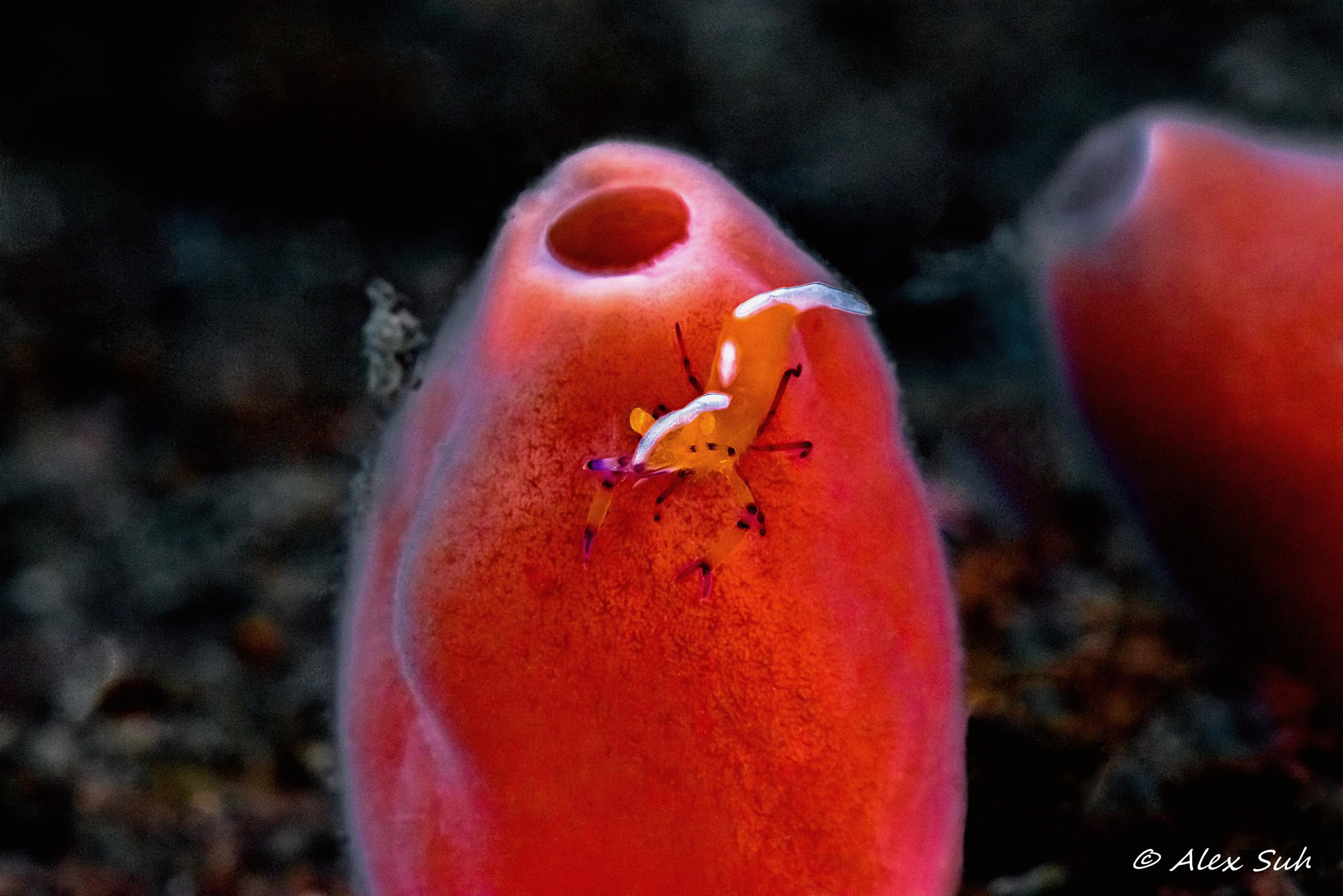 Emperor Shrimp on Sponge Angled Bali Final F.jpg
