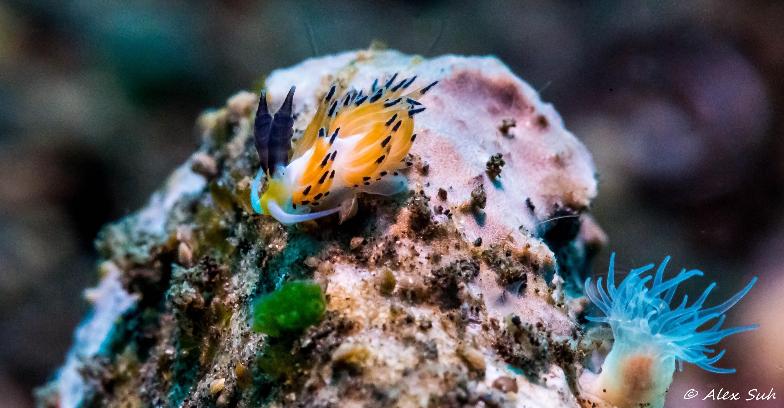 Ringed Nudibranch (Favorinus tsurganus)