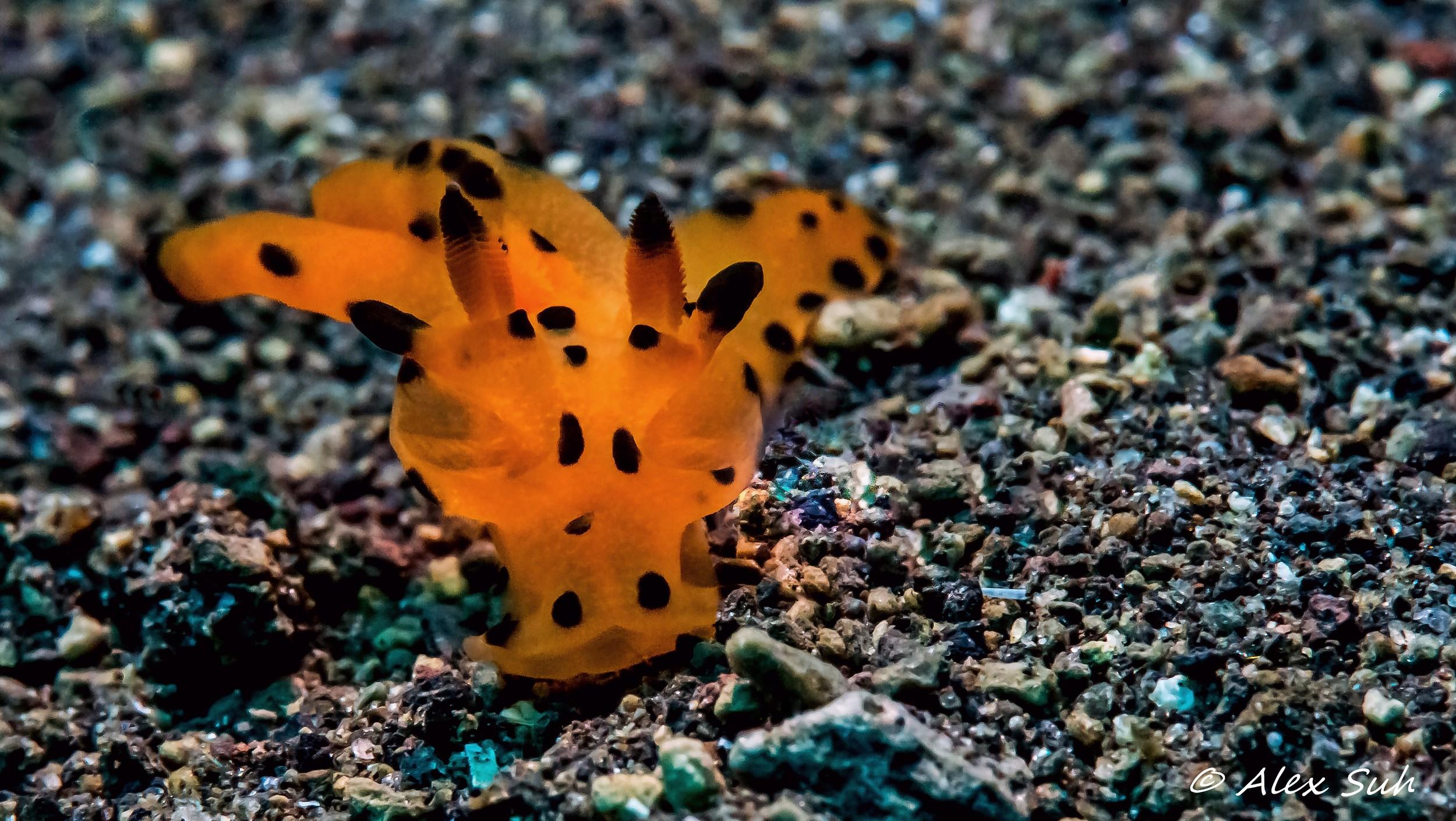 Pikachu Nudibranch (Thecacera sp.)