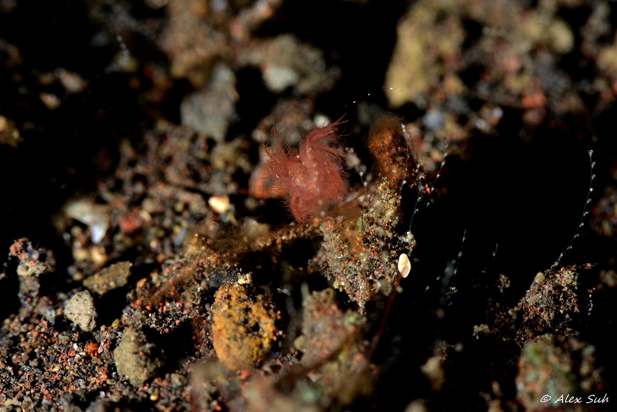 Hairy Shrimp, Phycocaris simulans