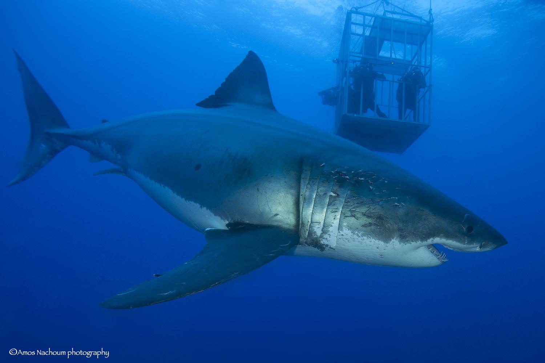 Great White Shark Amanda