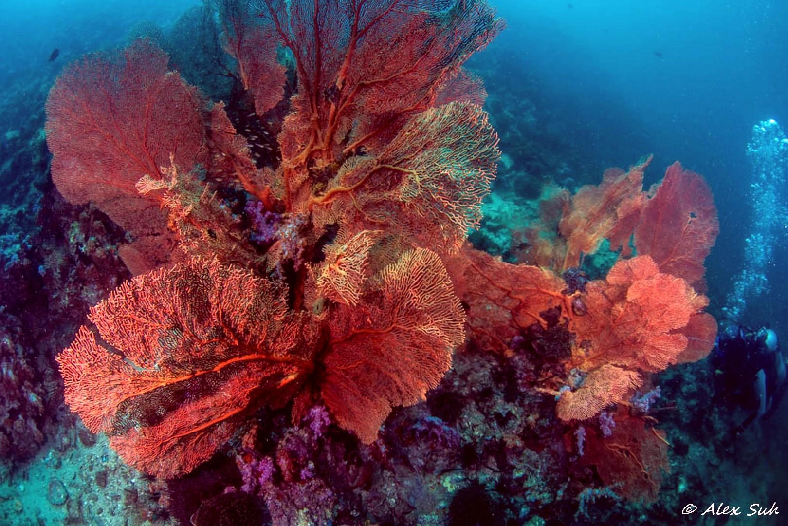 Large Gorgorian Coral in Phuket