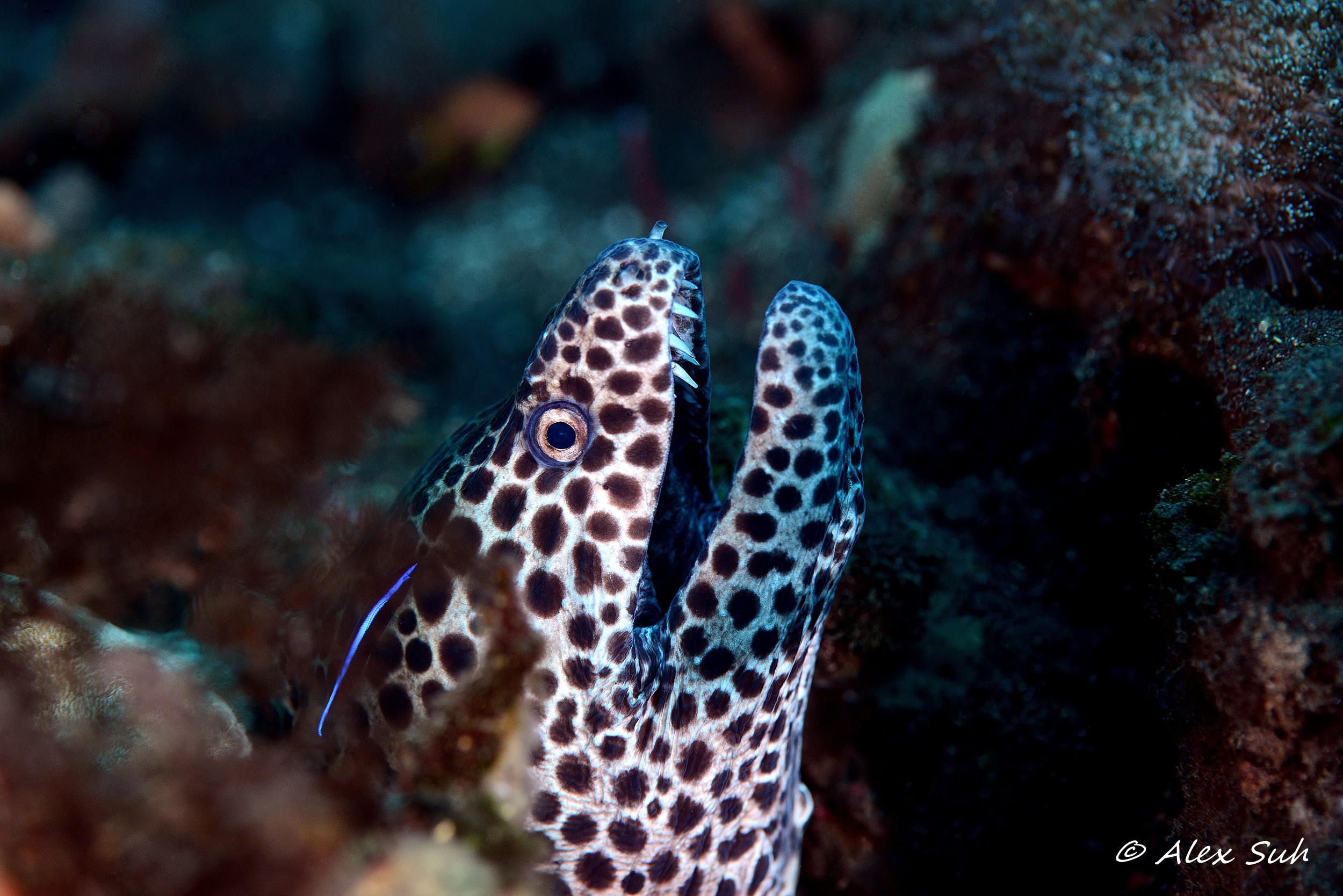 Moray Eel Cleaner Goby.jpg