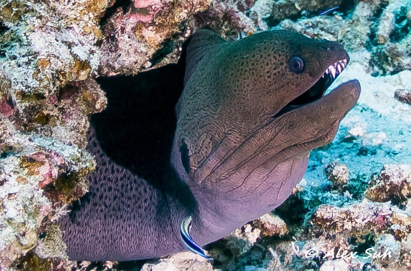 Lg Moray Eel w Cleaner Fish.jpg