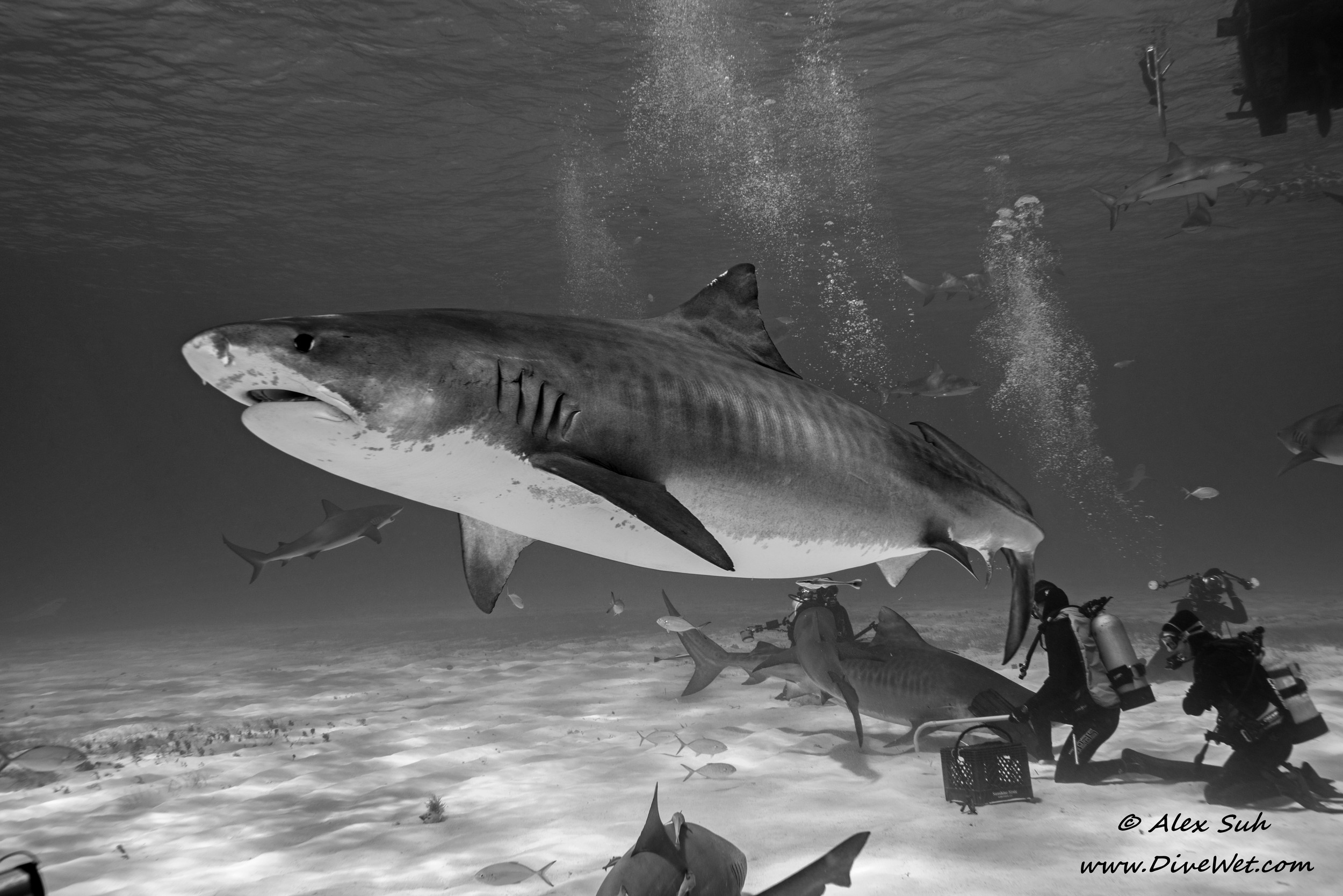 Tiger Shark Action BW.jpg