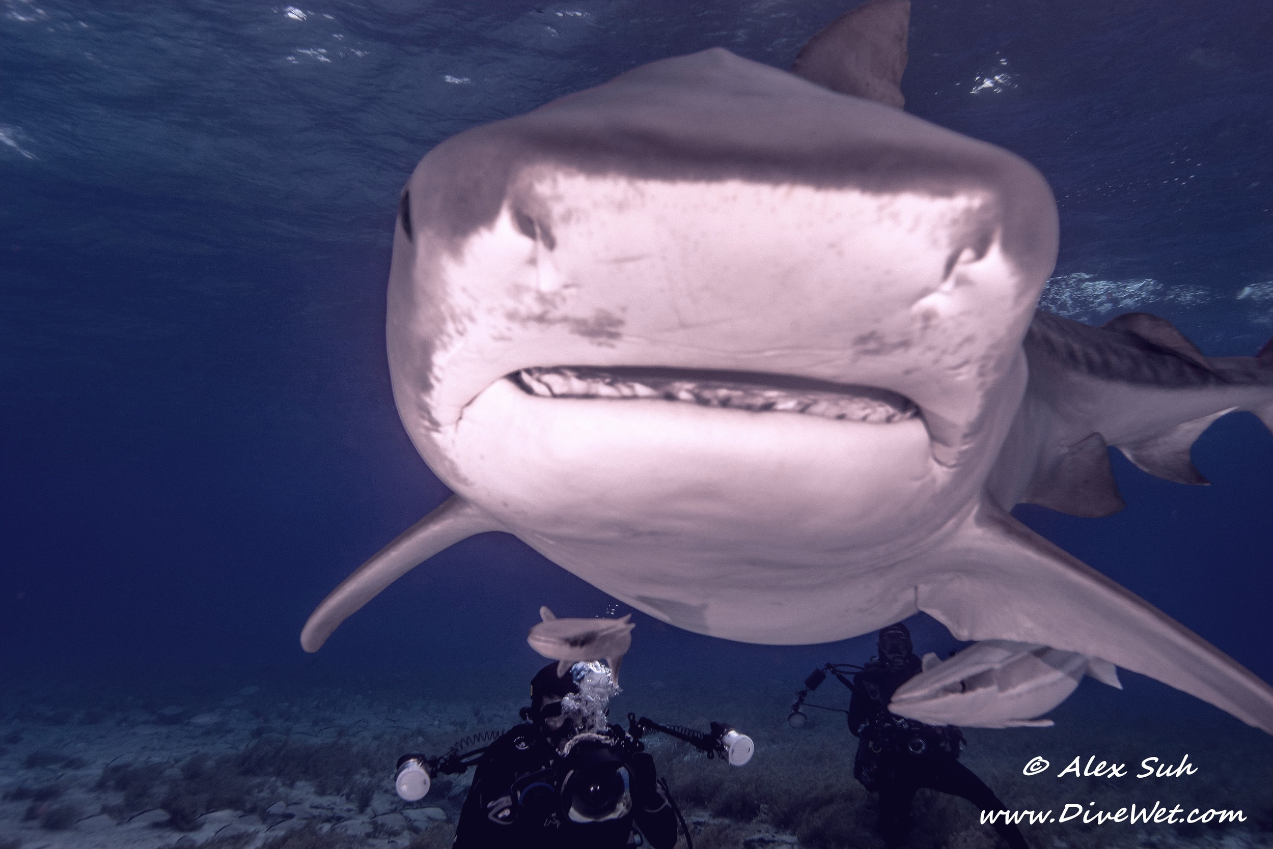 Tiger Shark Getting Real Friendly.jpg