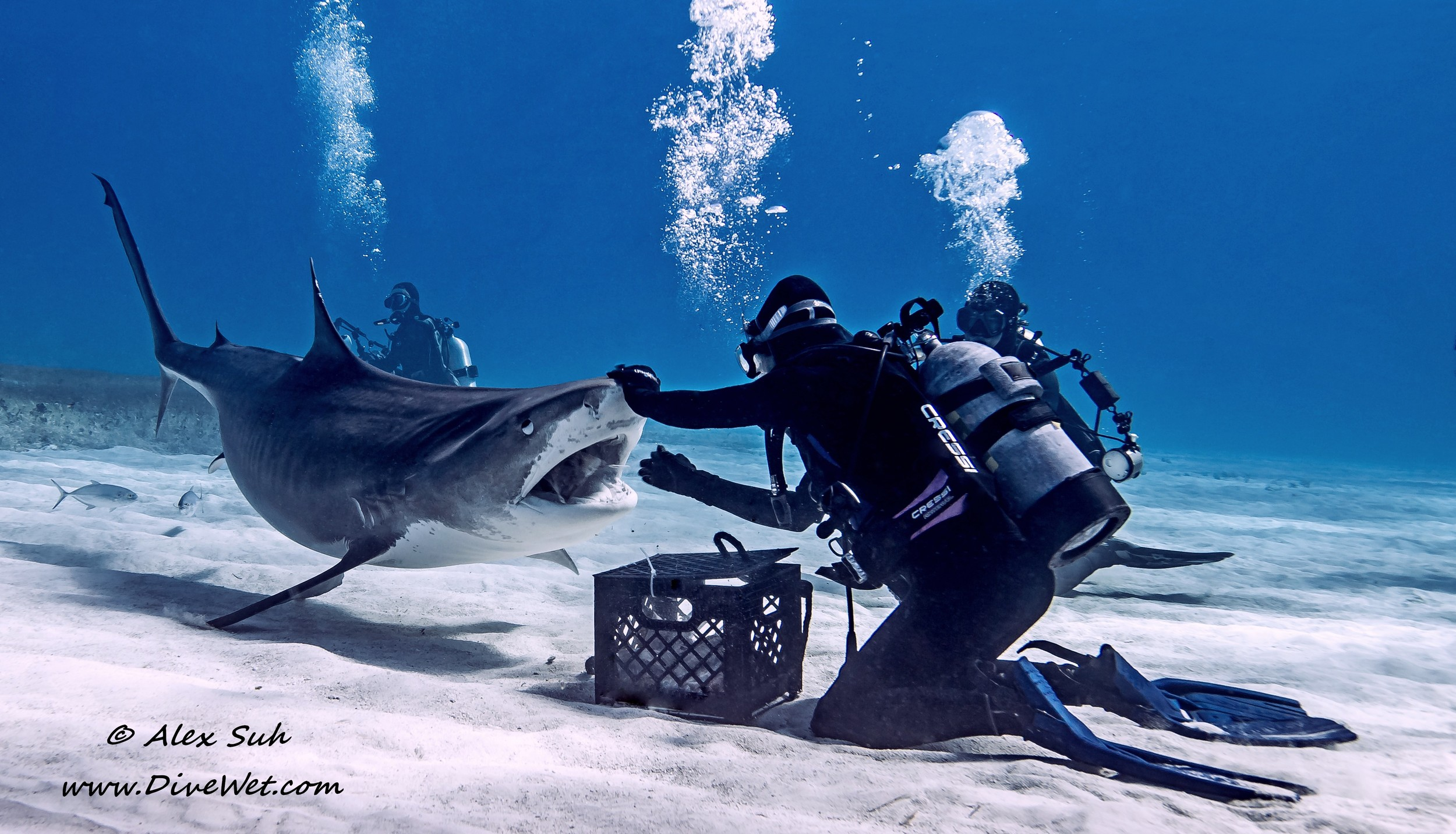 "Feeding a Tiger Shark ""Open Wide""q"