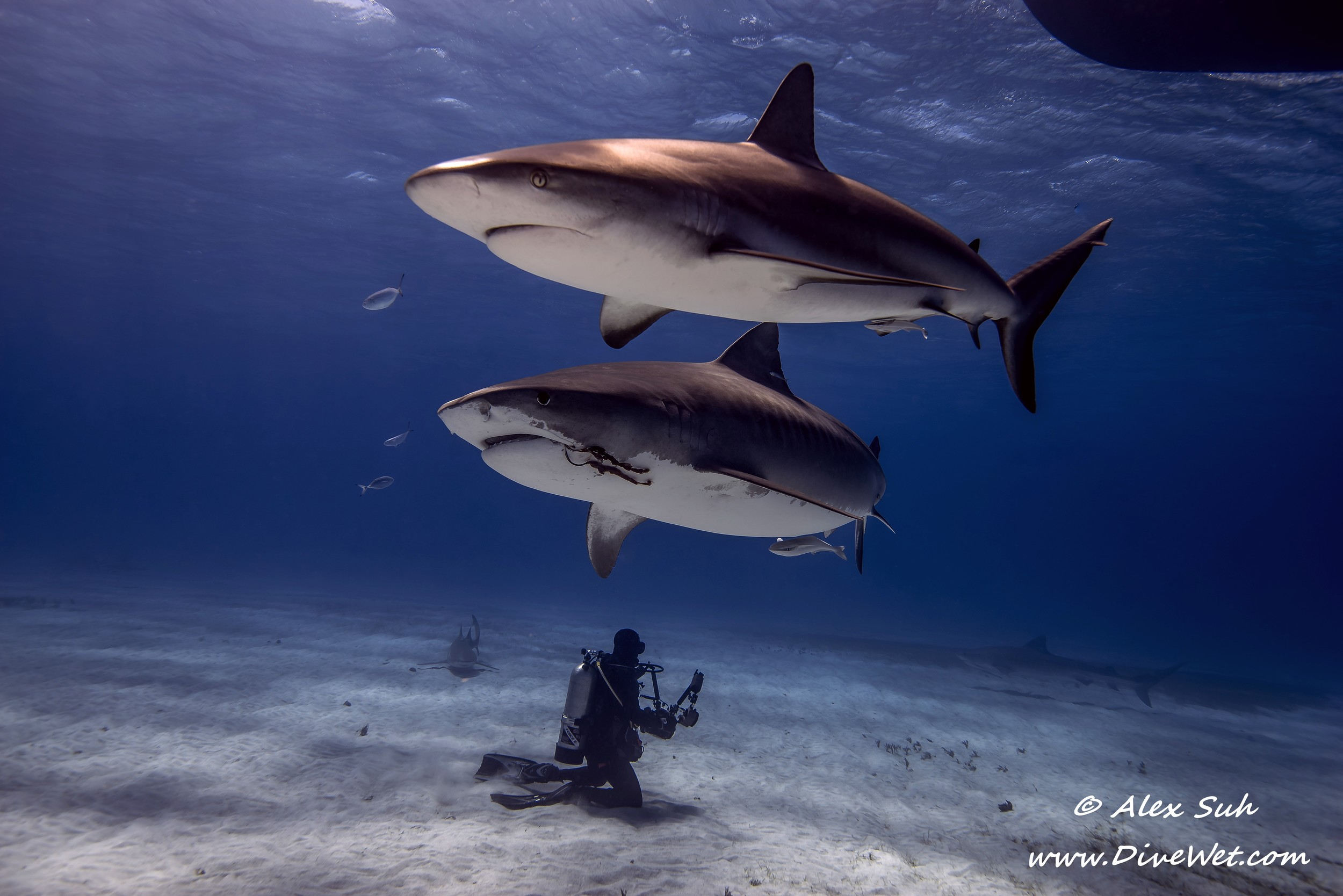 Caribbean Reef Shark and Tiger Shark