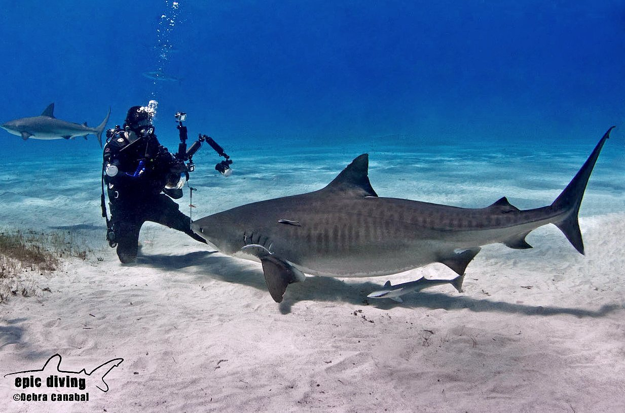 Alex photographing a Tiger Shark head on.