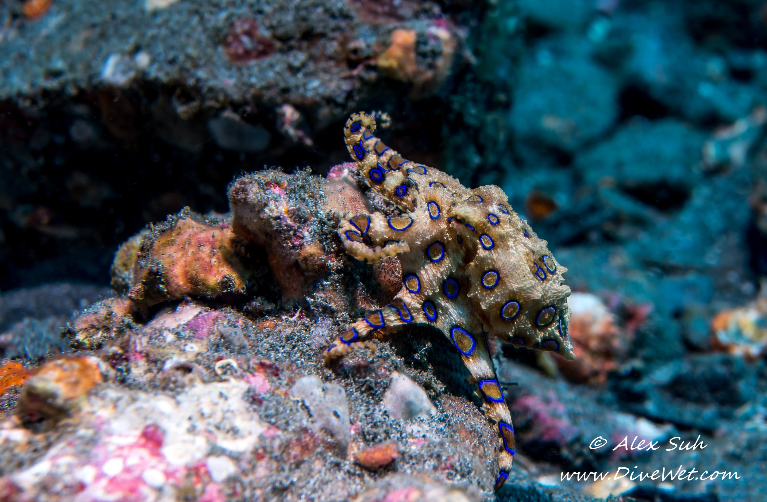 Blue-ringed Octopus (Hapalochlaena sp).