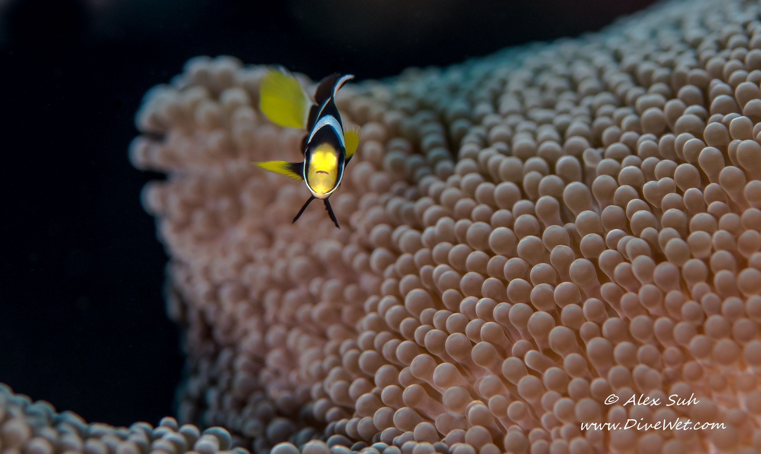 Baby Yellow Seabae Clown Fish