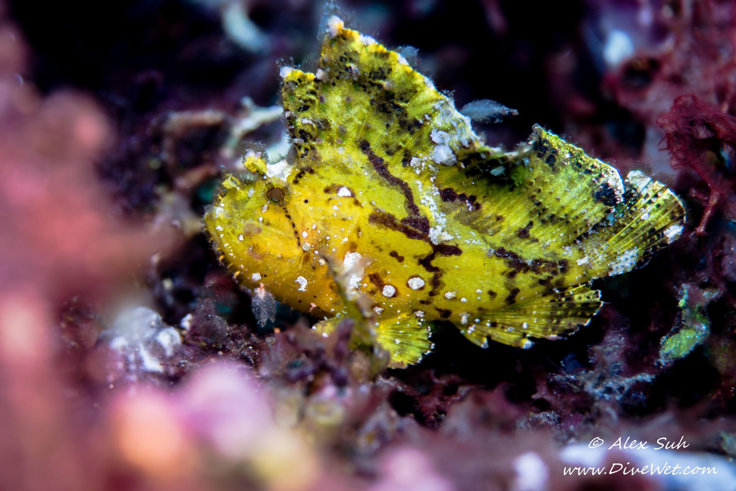 Leaf Scorpion Fish (Taenianotus triacanthus)