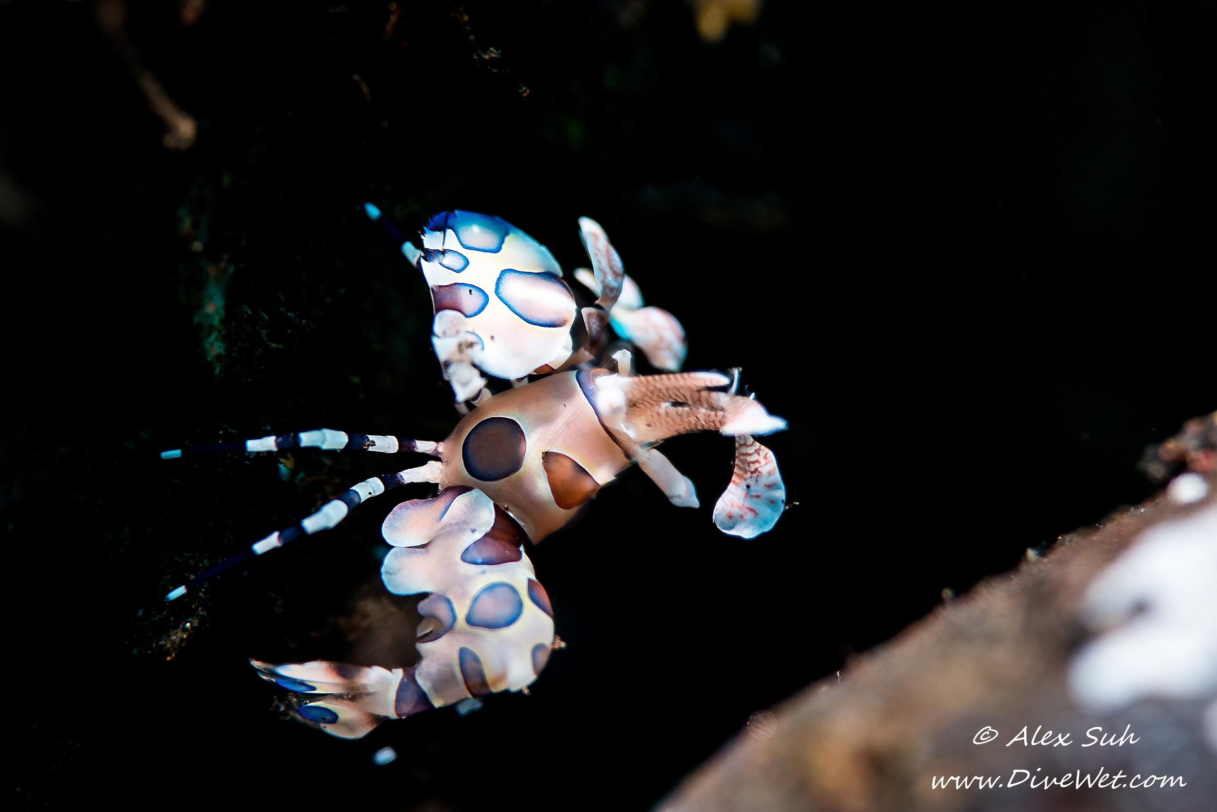 Harlequin Shrimp (Hymenocera picta)