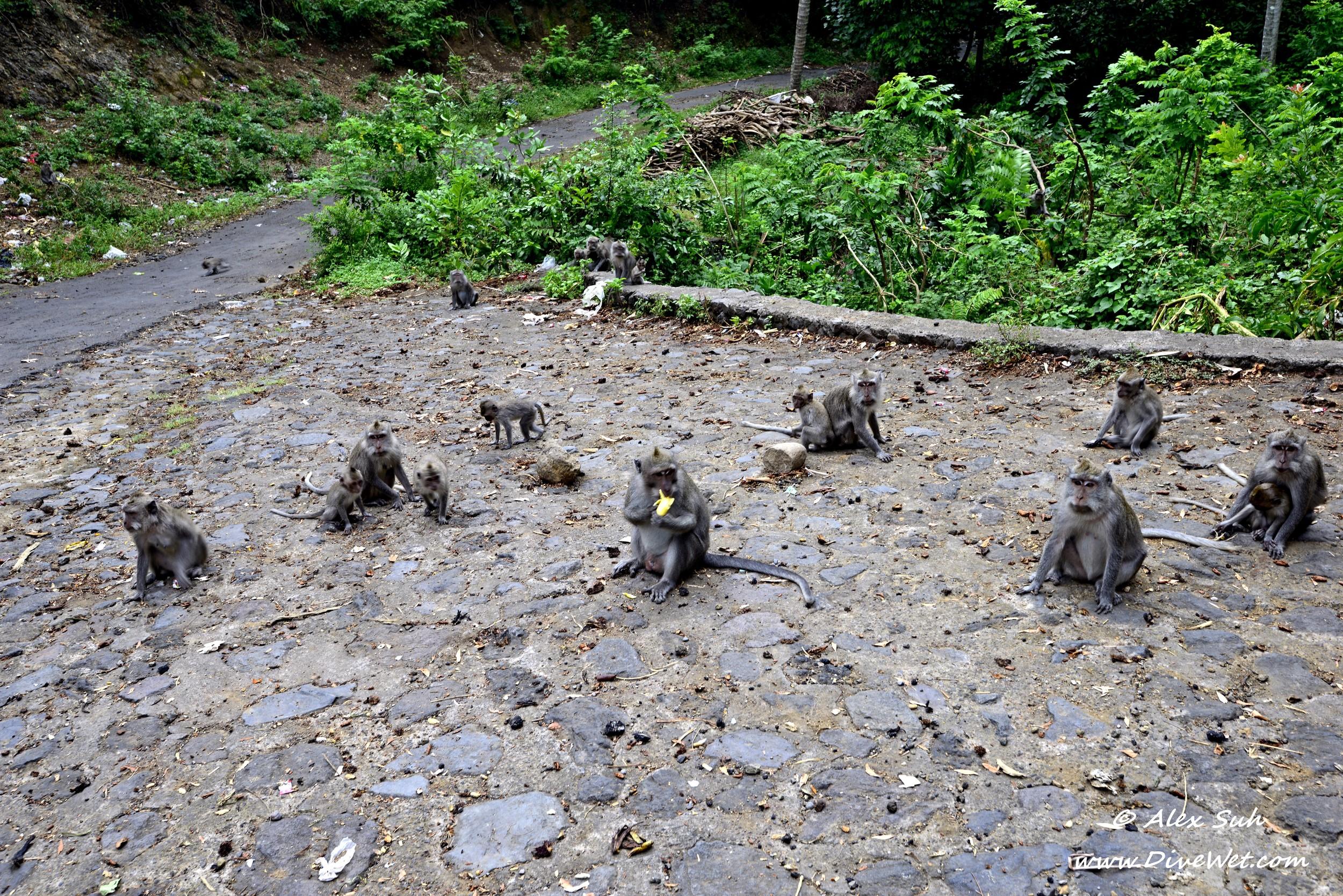 Bali Monkies.jpg