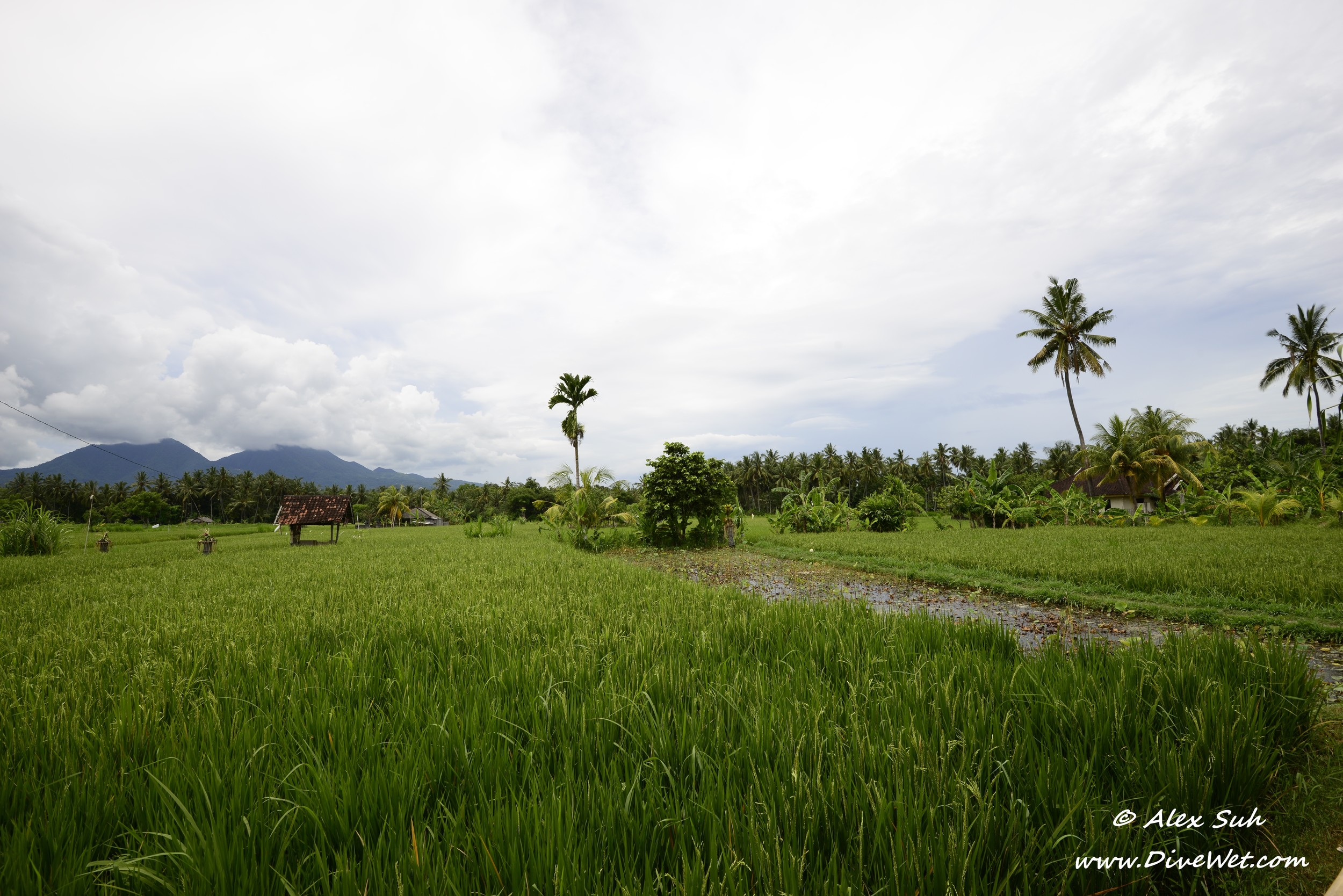 Bali Rice Field Up Close.jpg