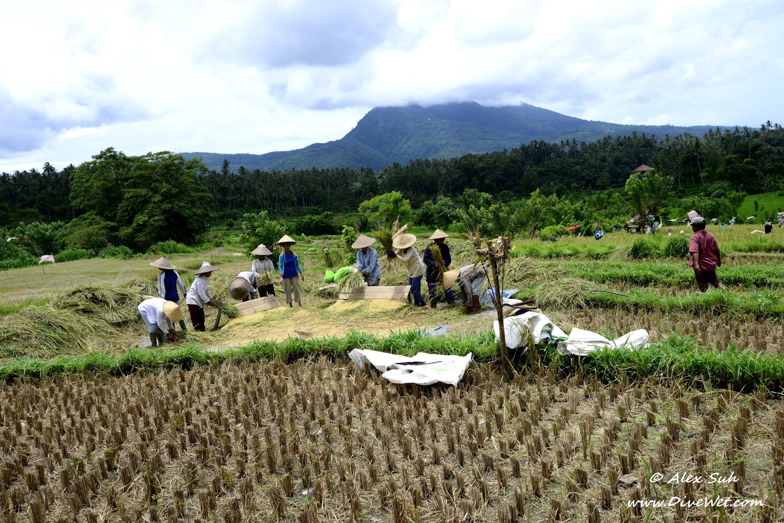 Bali Rice Field Workers.jpg