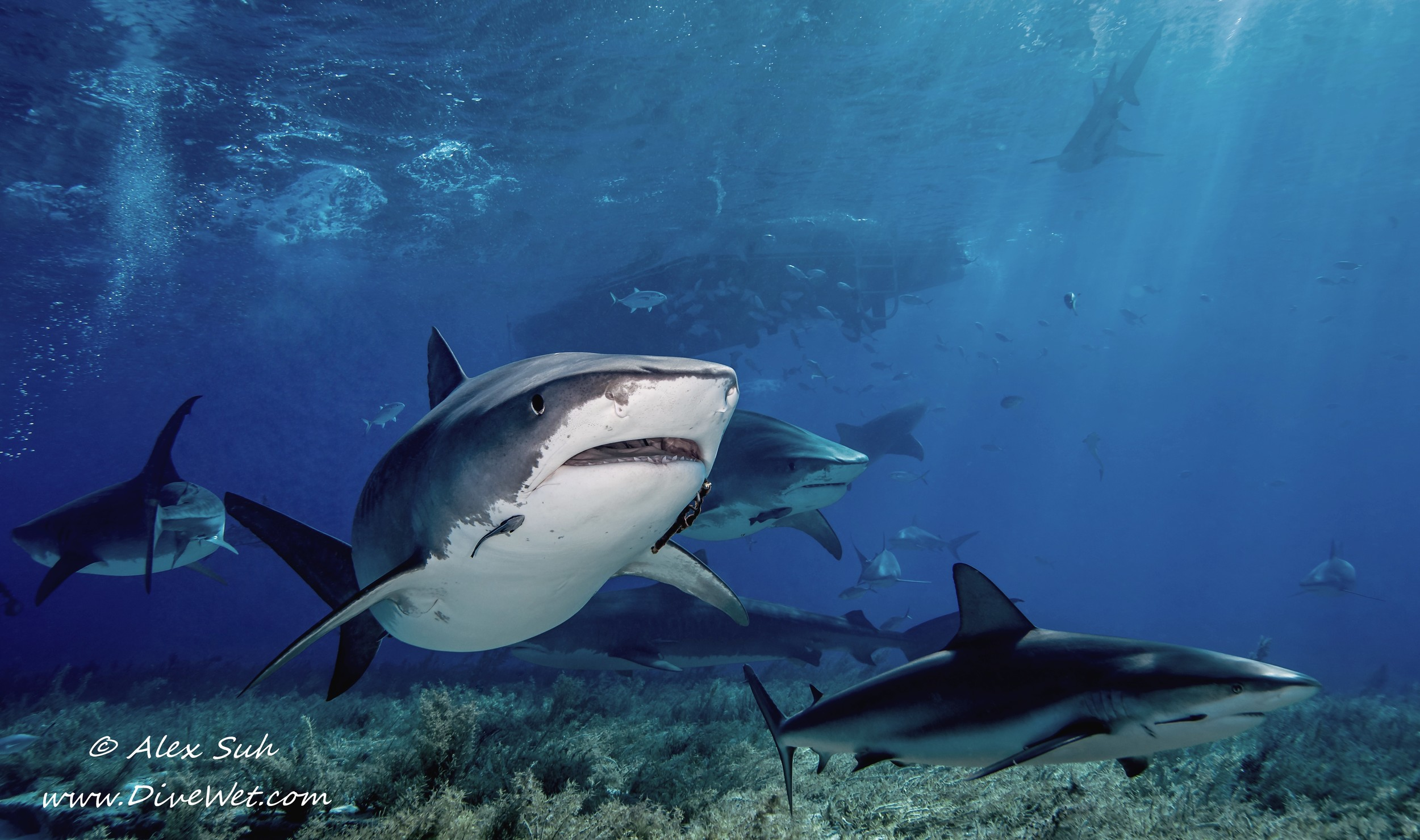 Tiger Shark and Shark Variety