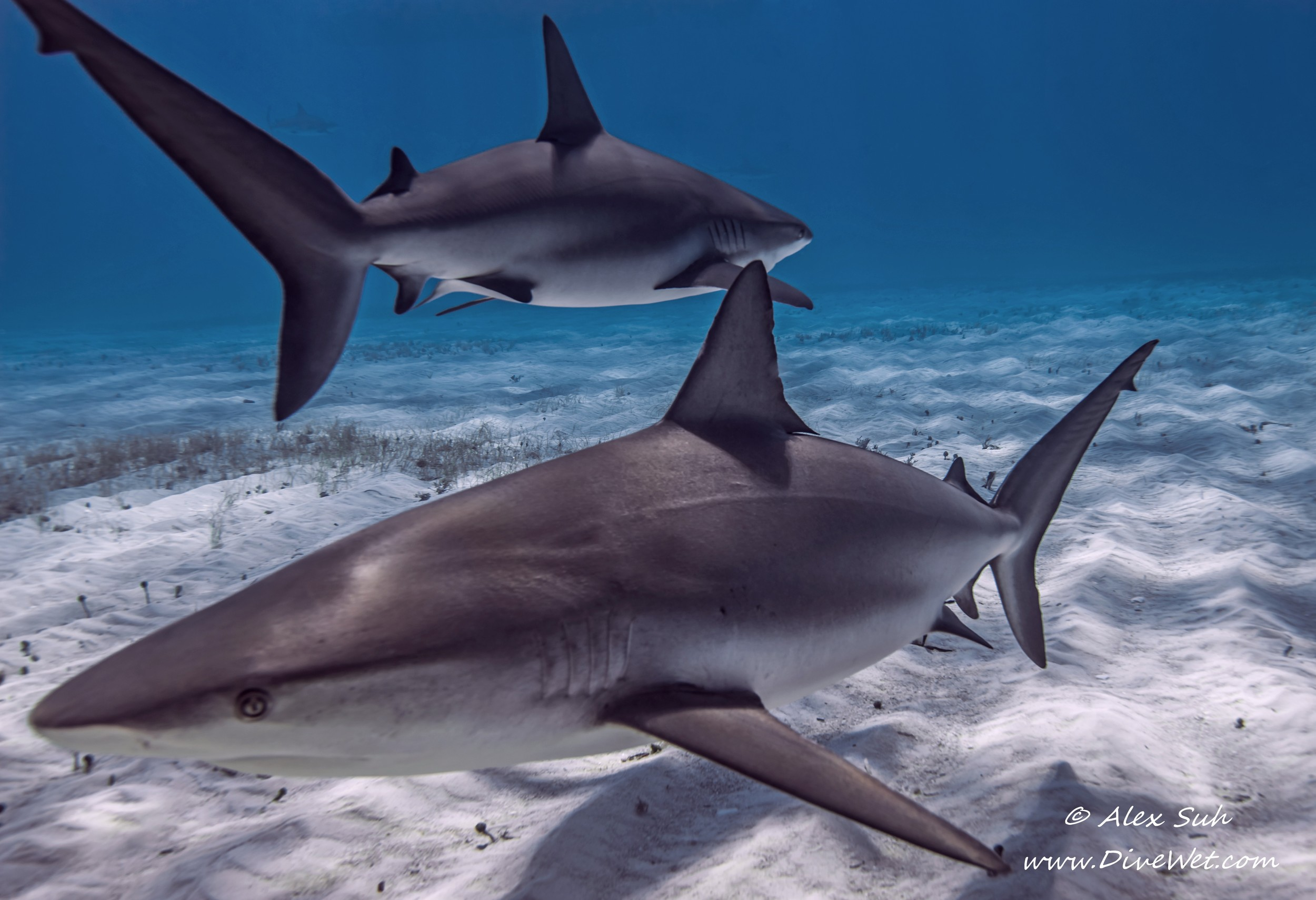 2 Reef Sharks Swimming Opposite Directions V2.jpg