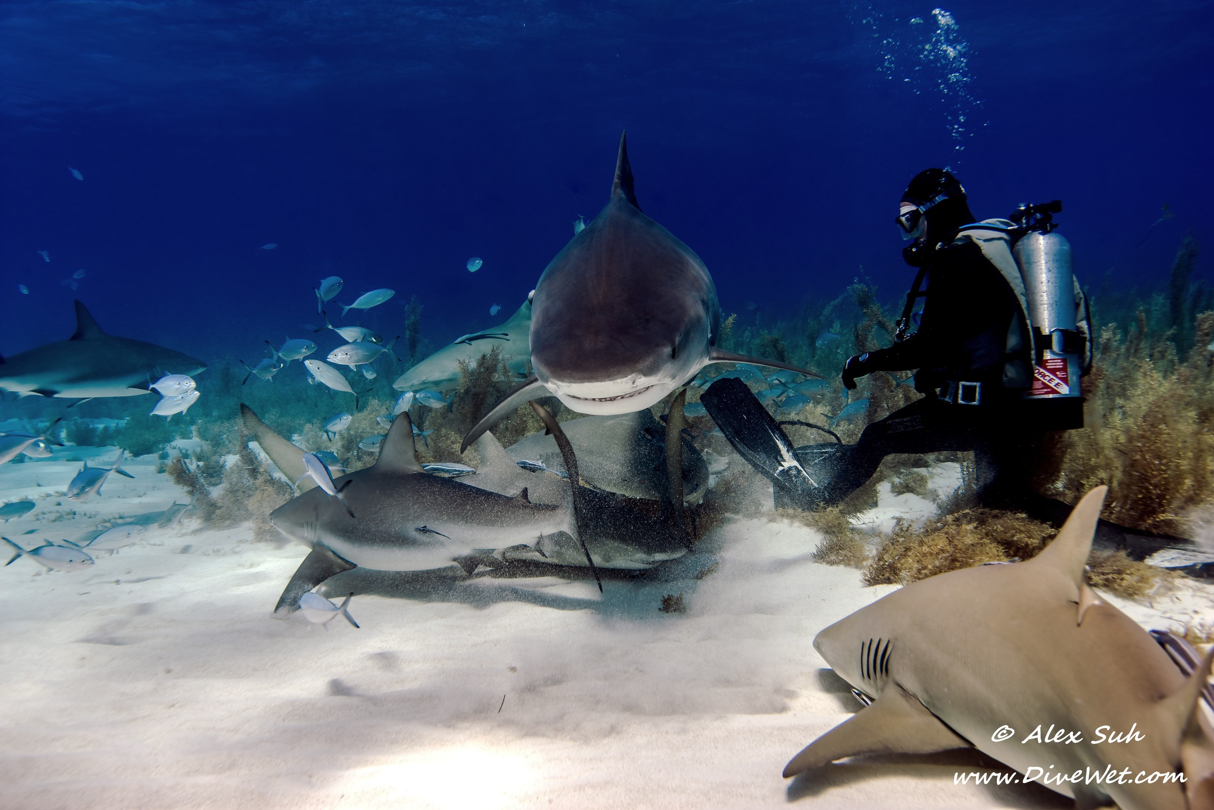 Tiger Shark Feeding