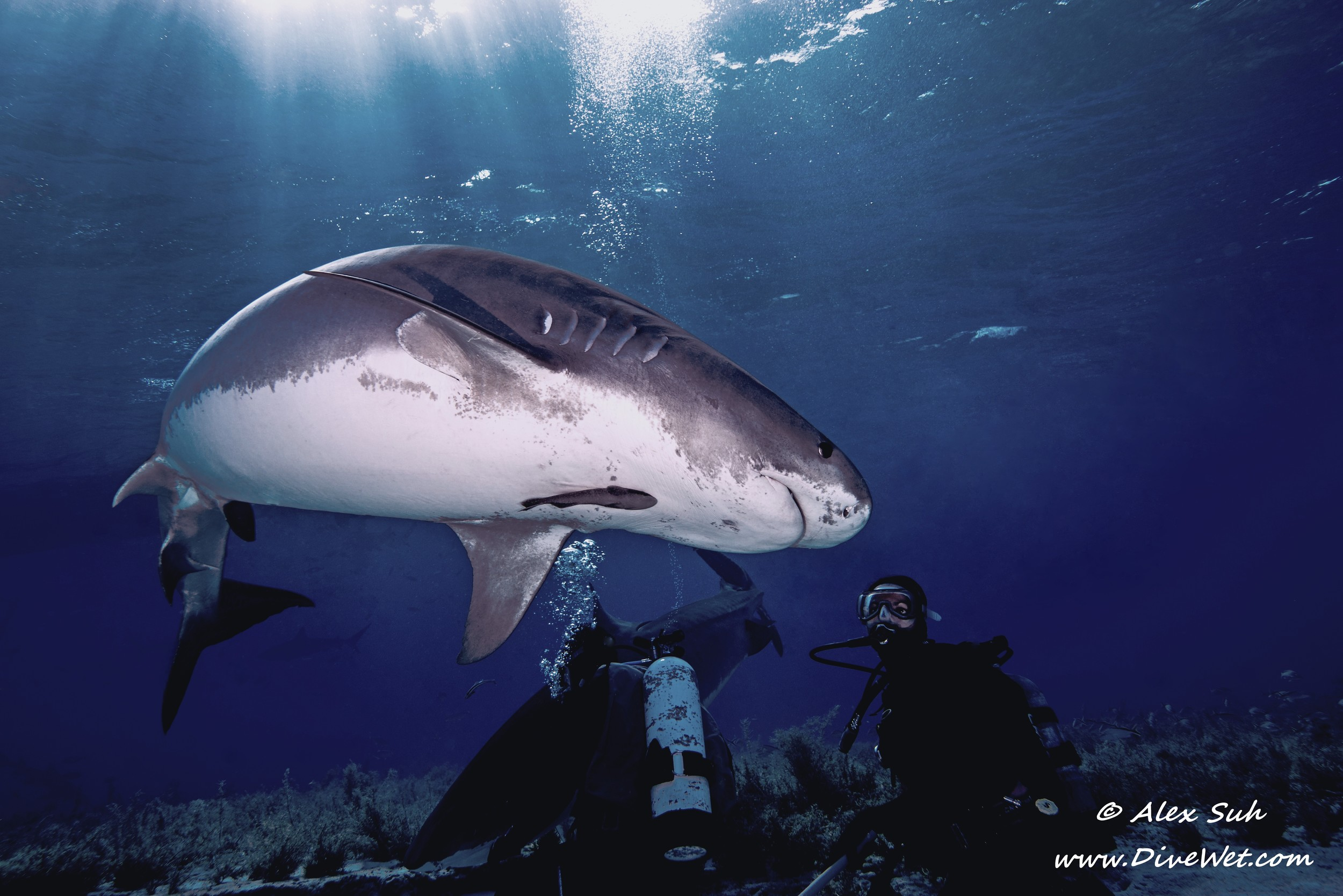 Tiger Shark Turns Back